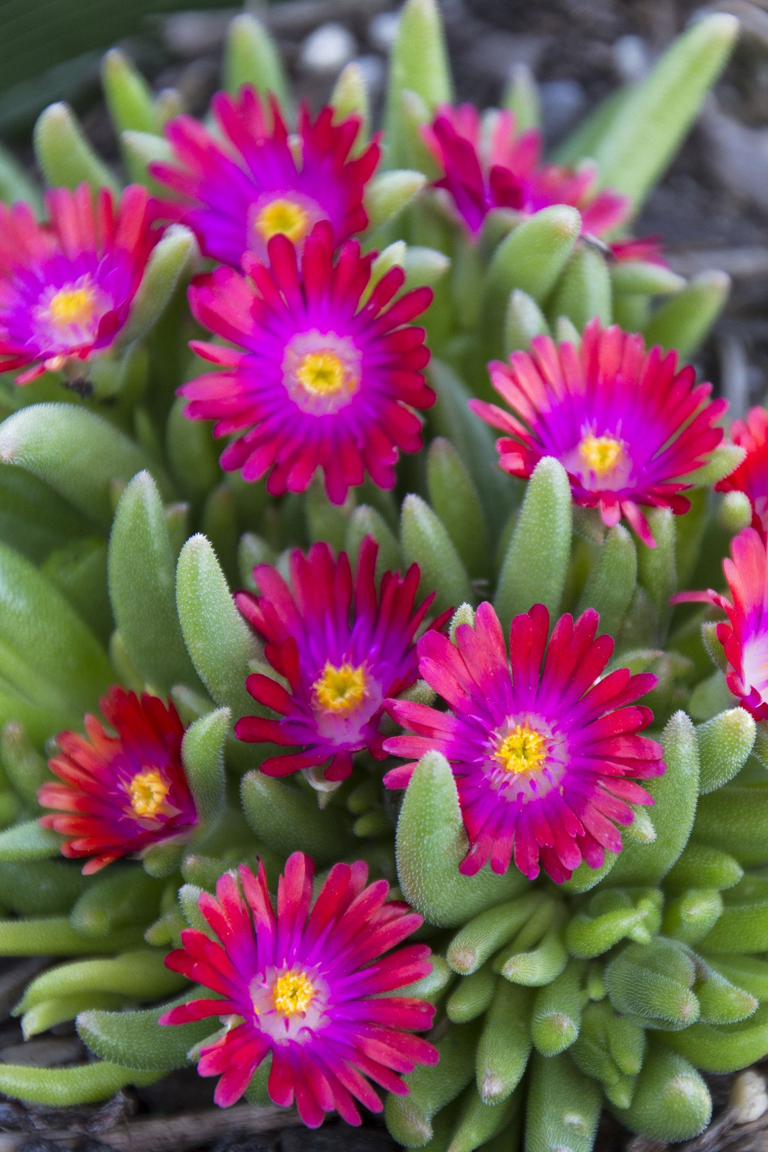 5 Ways to Design with Succulents | Ice plant, Root system and Water wise