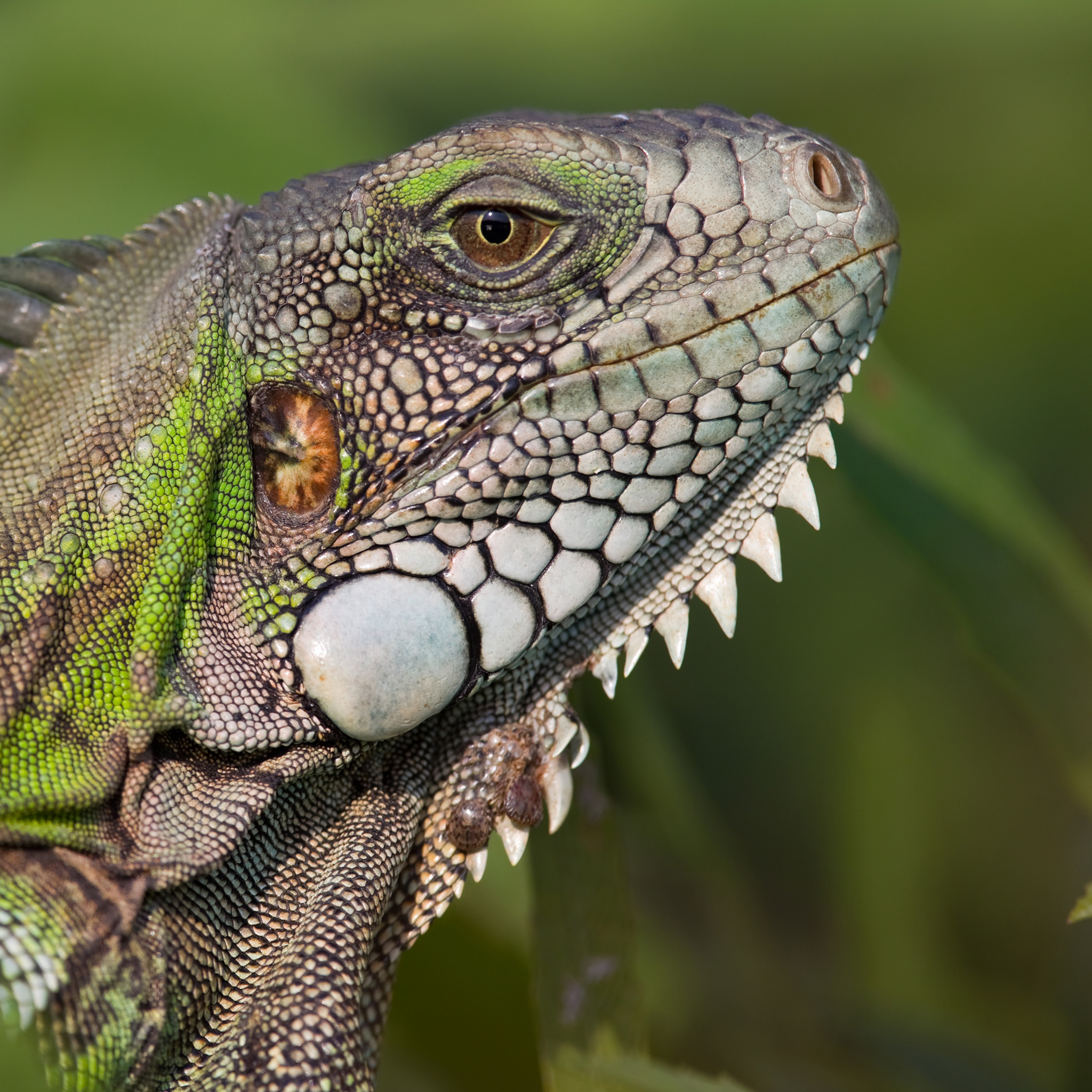 Green Iguana | National Geographic