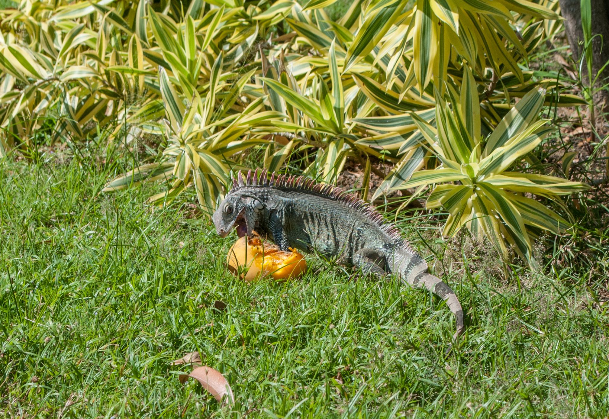 Iguana - Wikipedia