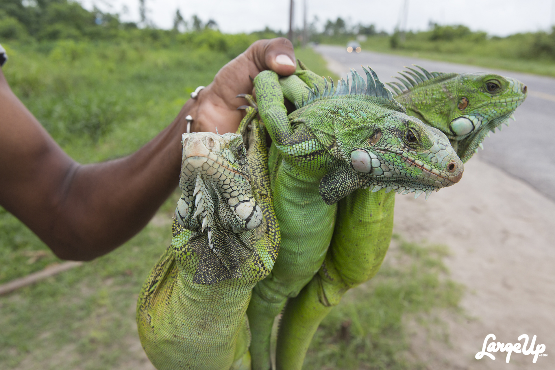 Roadside Iguana Vendors in East Bank Demerara, Guyana