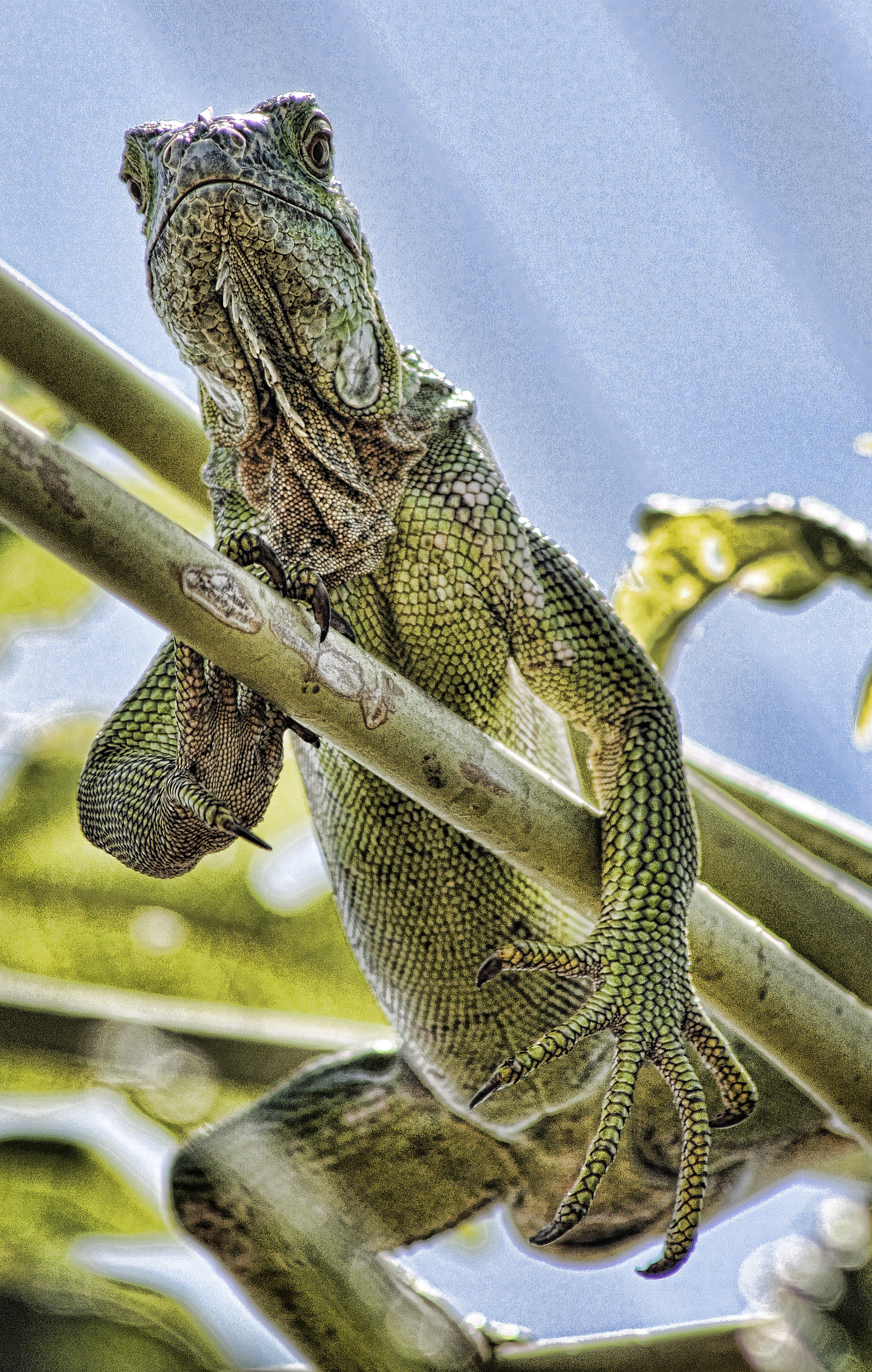Iguana, Cayman, Lizard, Reptile, HQ Photo