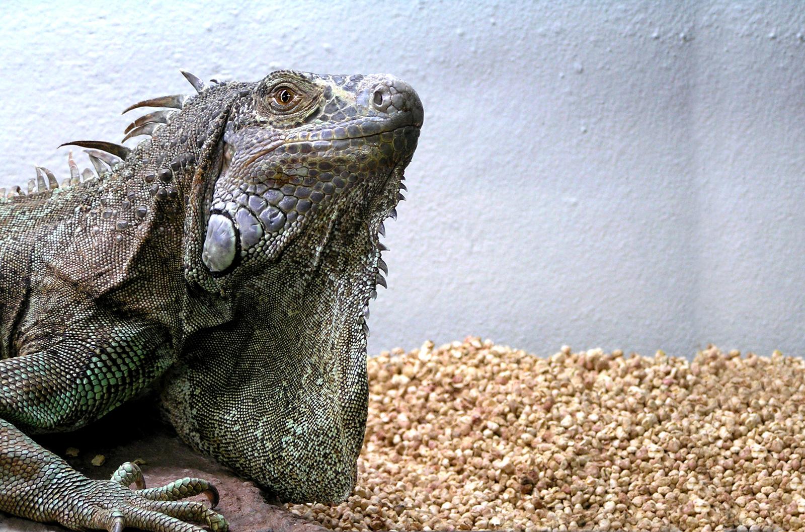 Iguana, Animal, Bspo06, Lizard, Reptile, HQ Photo