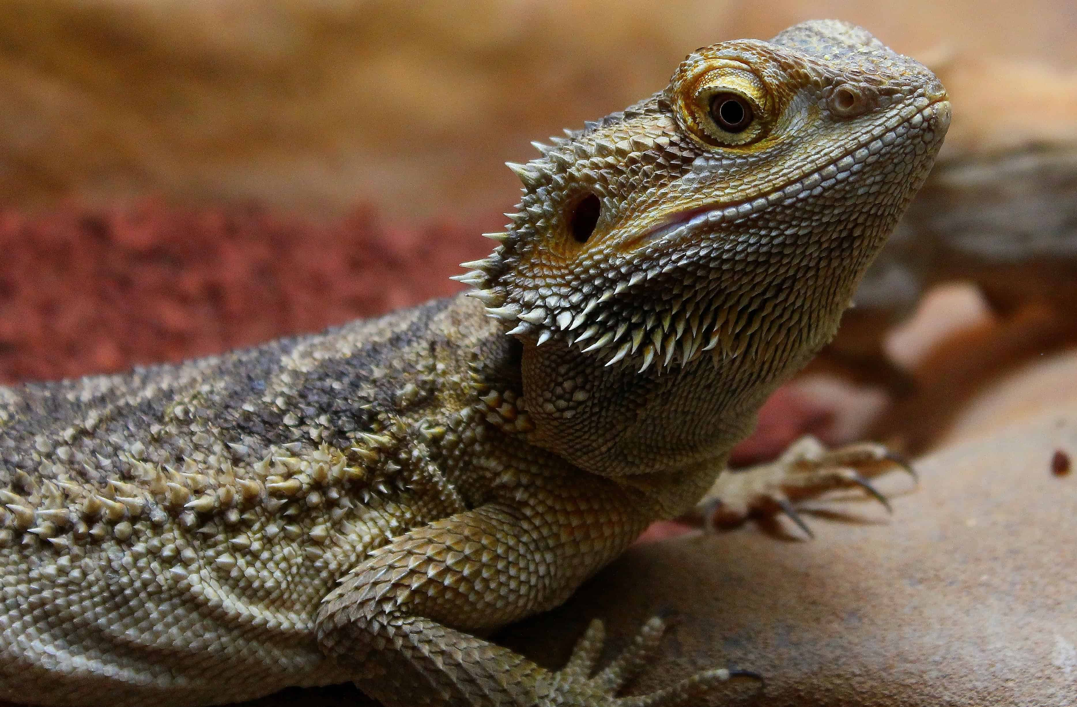 Free picture: wildlife, reptile, nature, lizard, iguana, dragon, eye ...