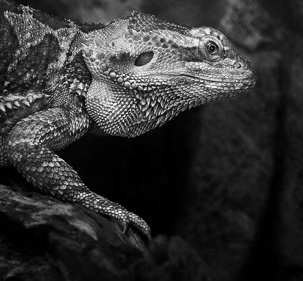 Iguana, Animal, Head, Horizontal, Lizard, HQ Photo