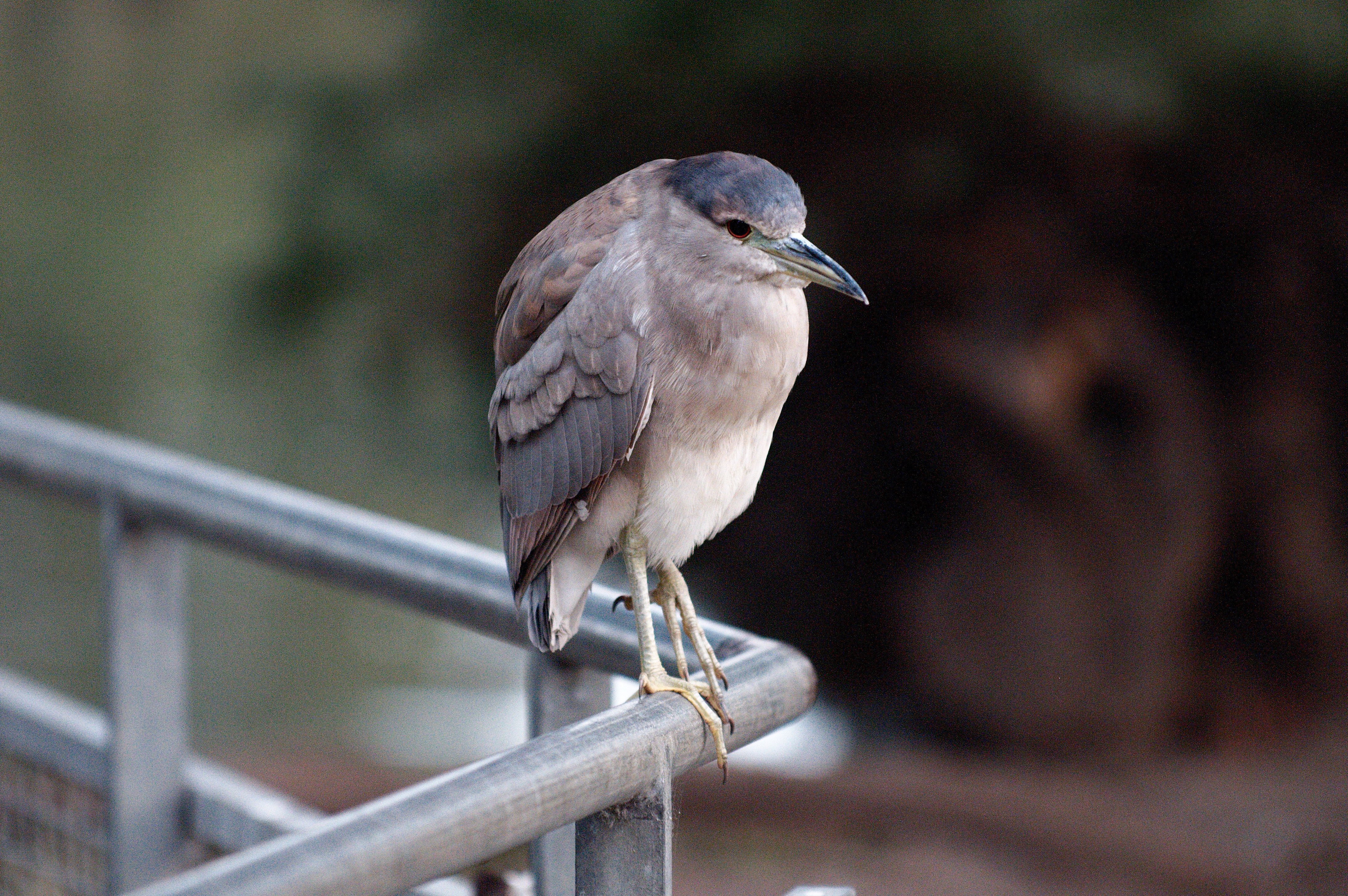 Immature black-crowned night heron perched on metal railing photo