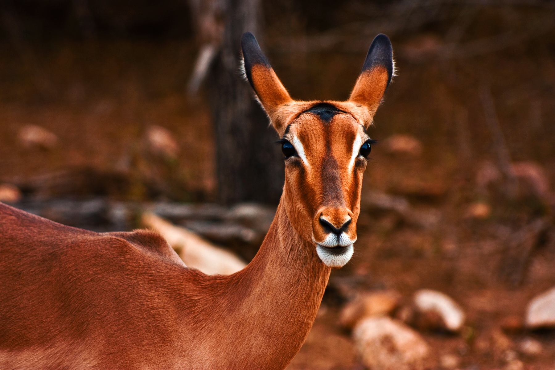 Impala female photo