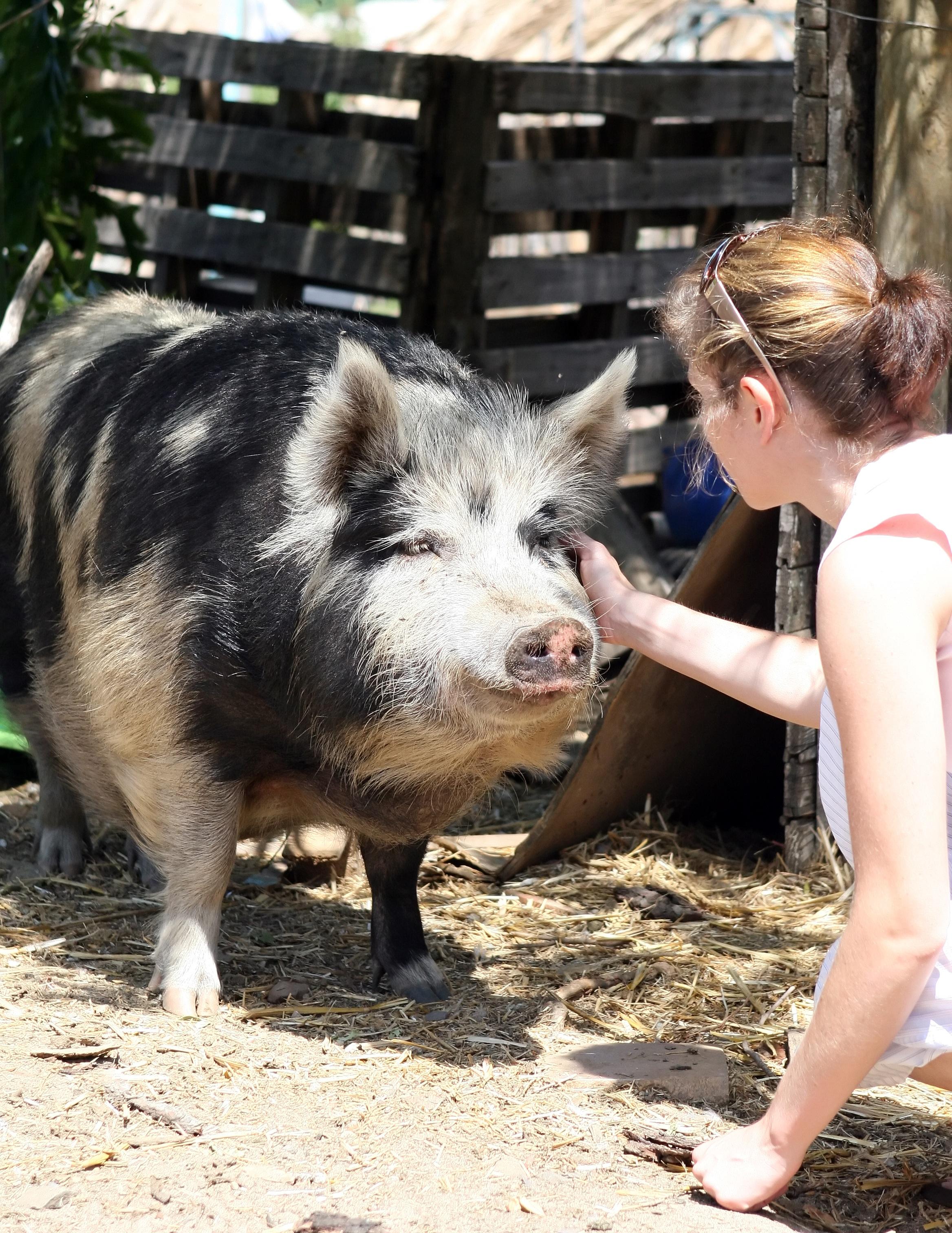 In the Farm, Pig, Wild, Love, Farm, HQ Photo