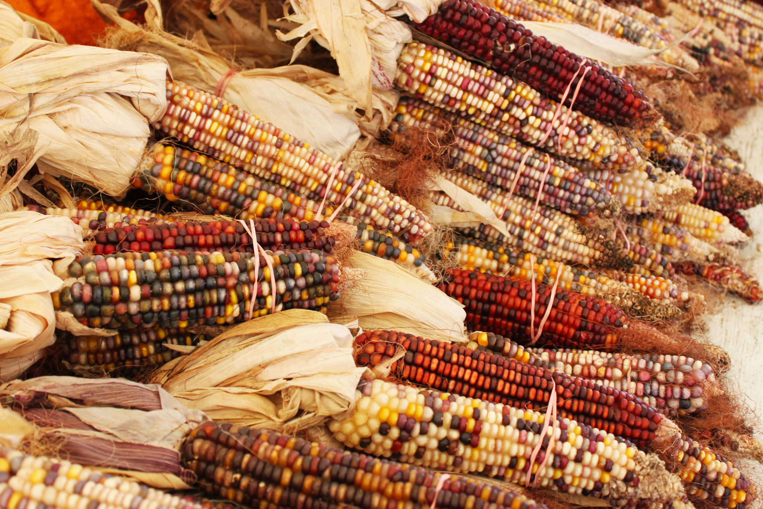 Indian corn photo