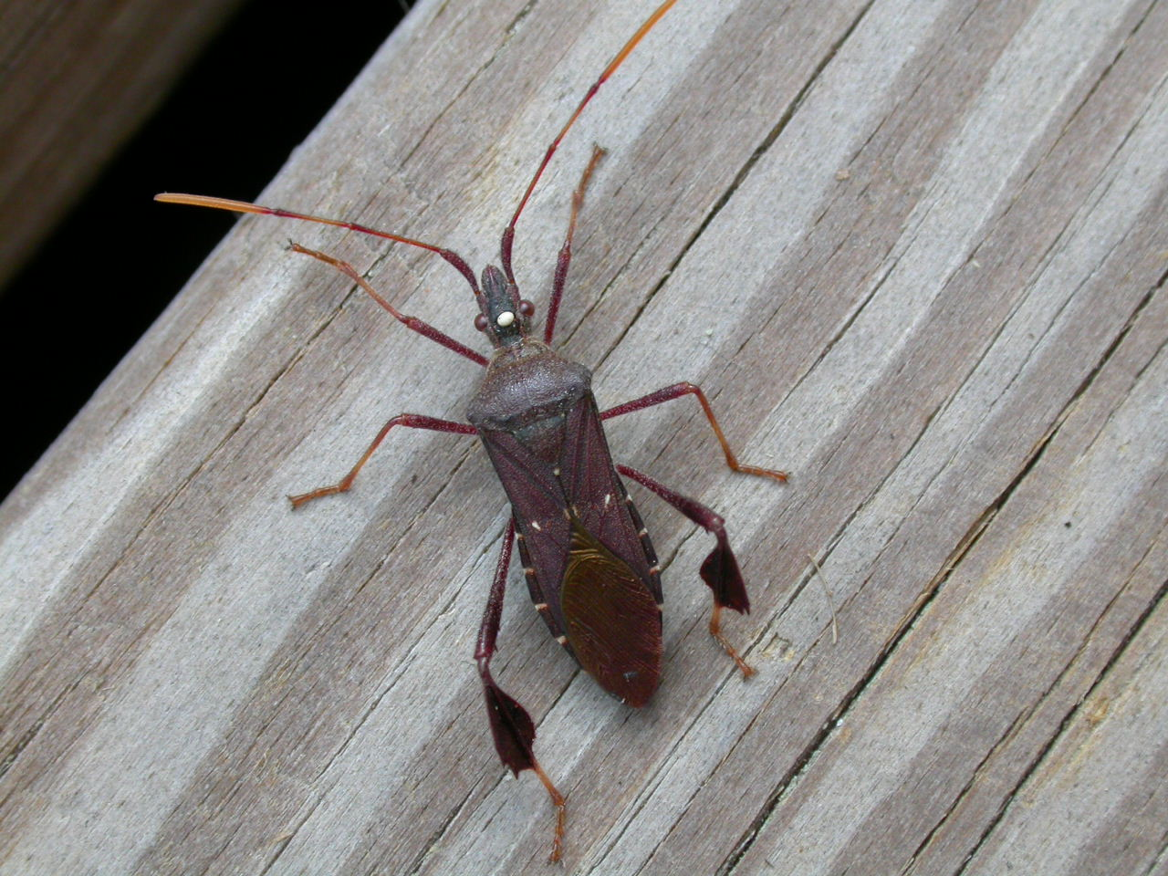 Insect walking on wood photo