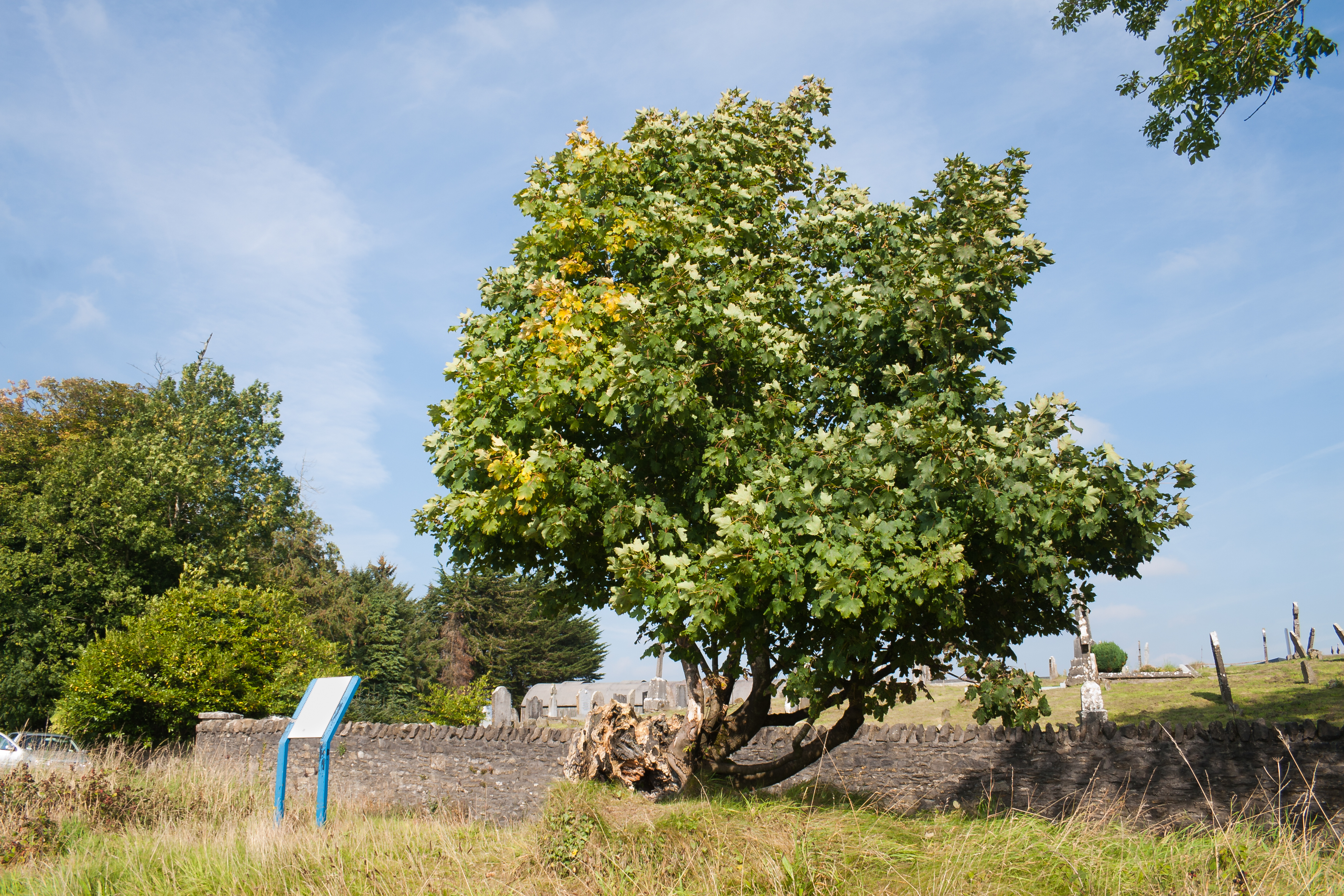 Irish tree photo