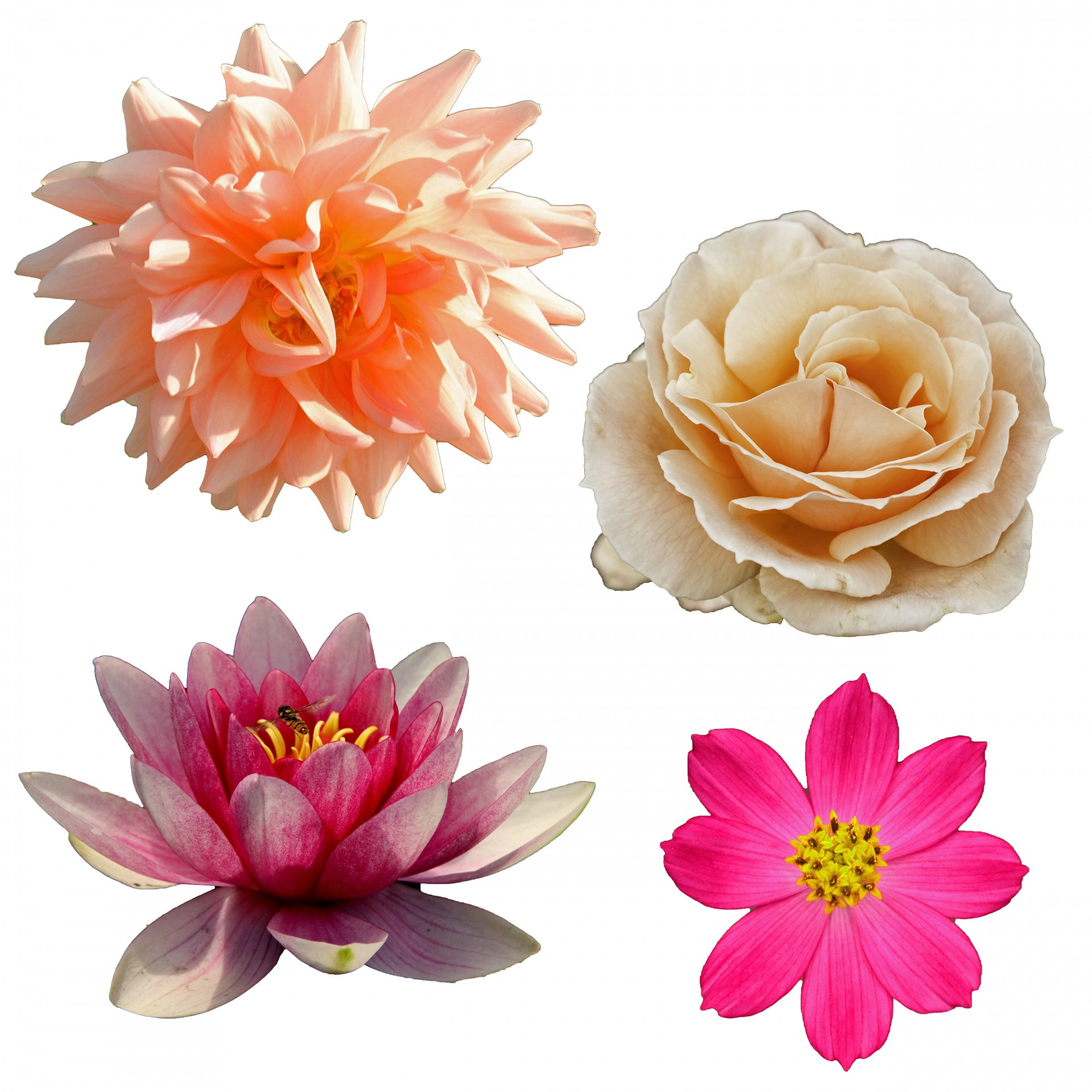 Isolated Flower Clipart Free Stock Photo - Public Domain Pictures