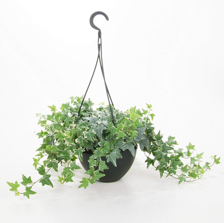 Amazon.com : 25 Seeds English Ivy Hedera Helix Air Purification ...