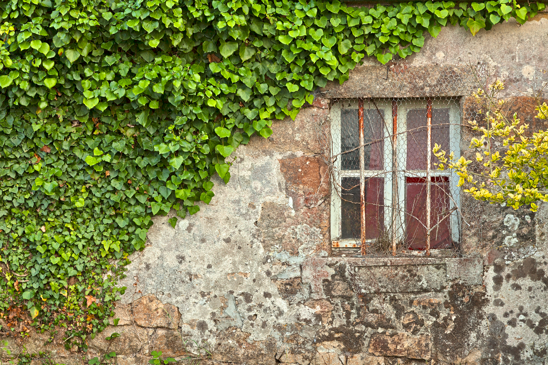 Ivy Wall - HDR, Age, Organic, Resource, Red, HQ Photo