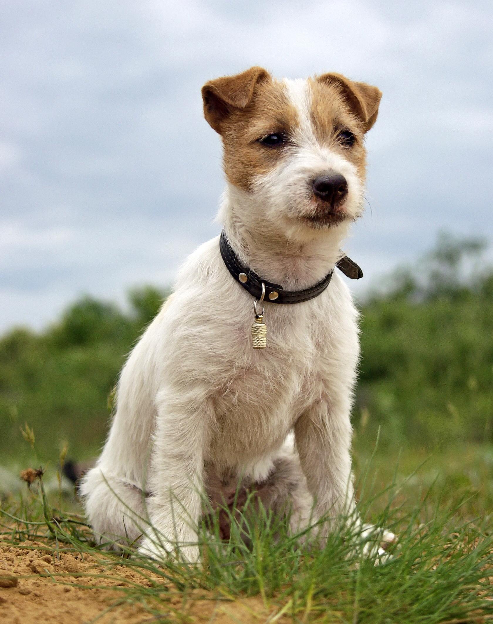 File:Szczenie Jack Russell Terrier3.jpg - Wikimedia Commons