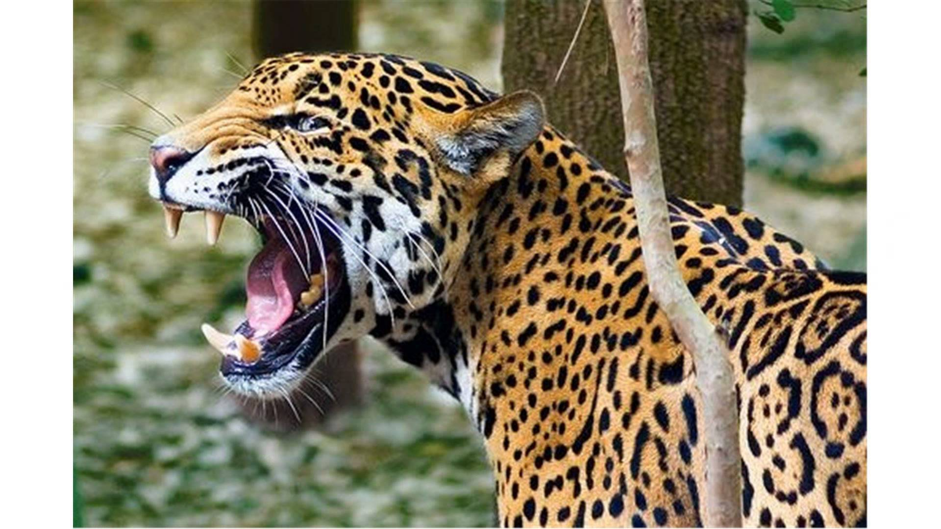 Jaguar roar photo
