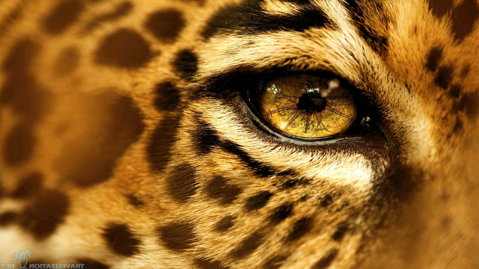 Wallpaper : animals, eyes, wildlife, big cats, whiskers, leopard ...