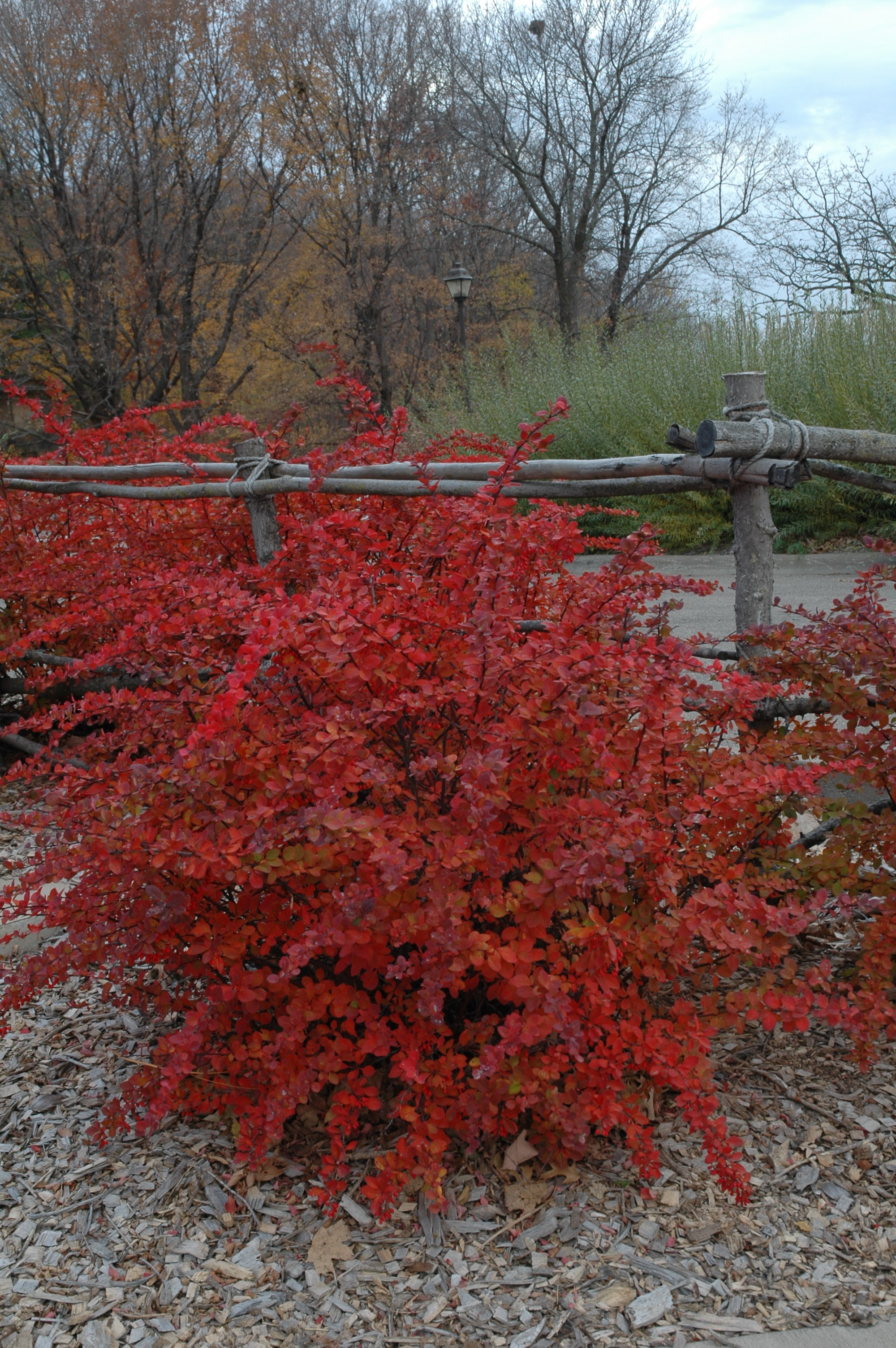 Japanese and Korean Barberries : UMN Extension
