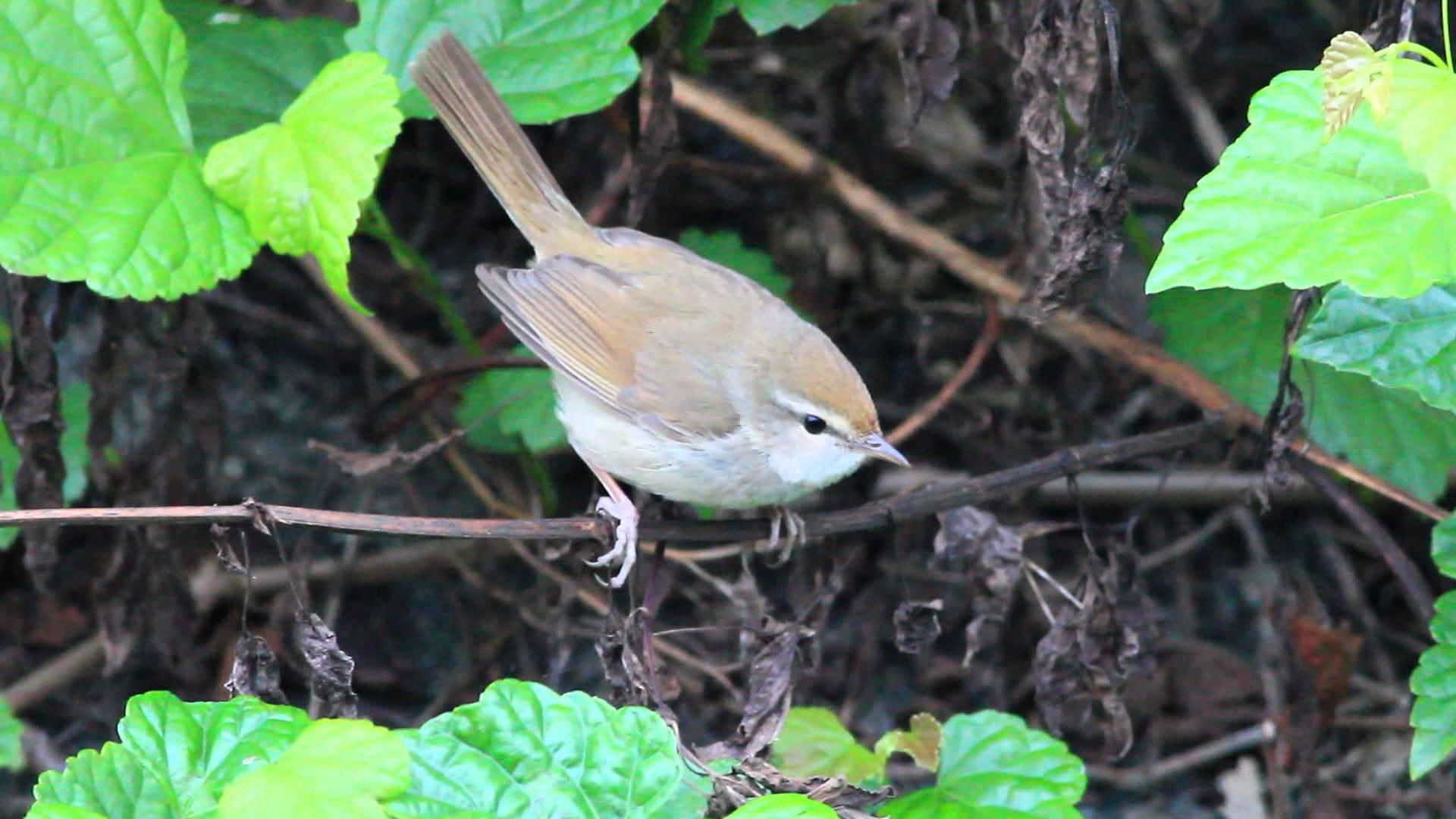 Japanese Bush Warbler call - YouTube