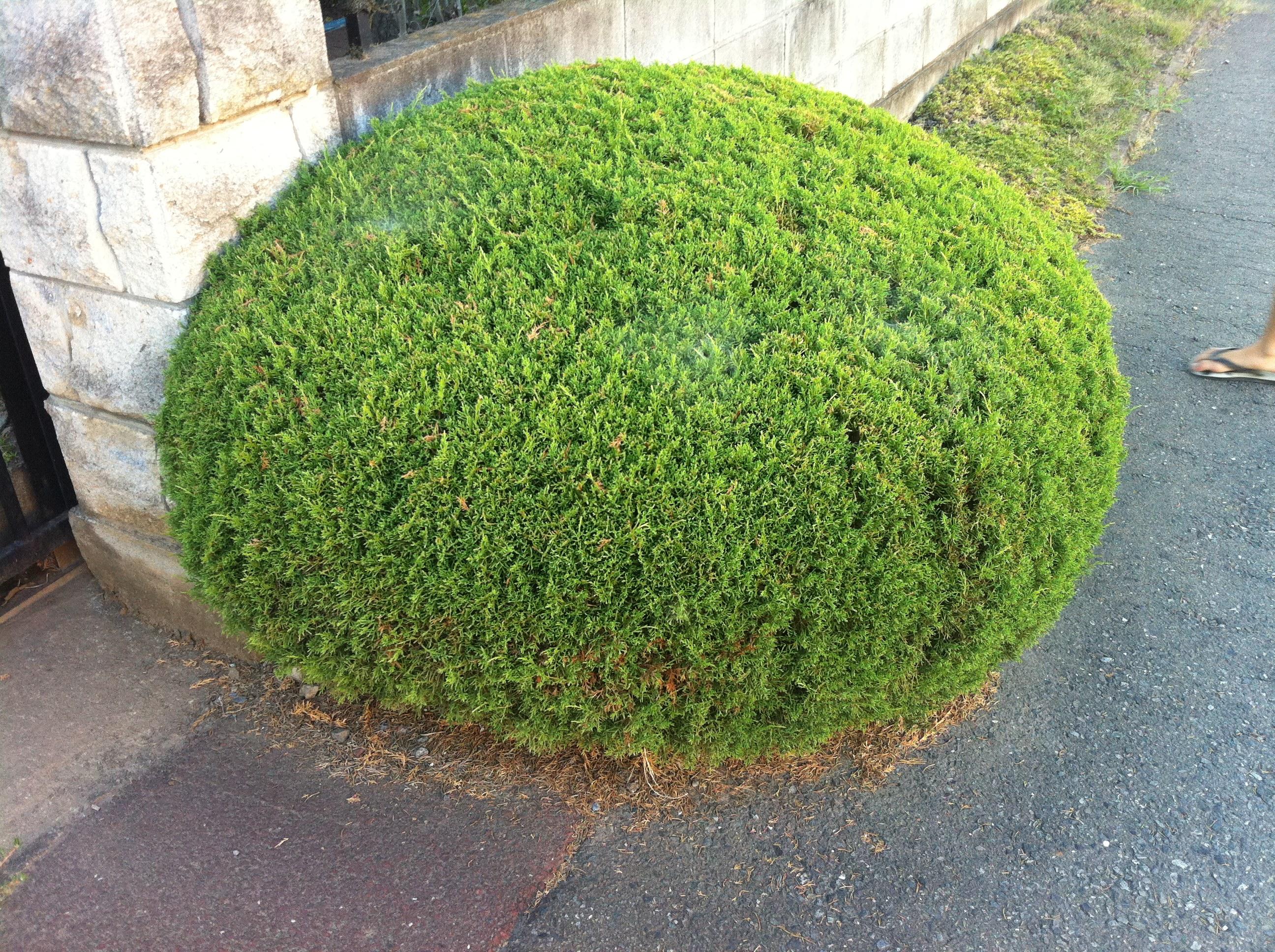 Japanese bush, Bush, Green, Japanese, Plant, HQ Photo