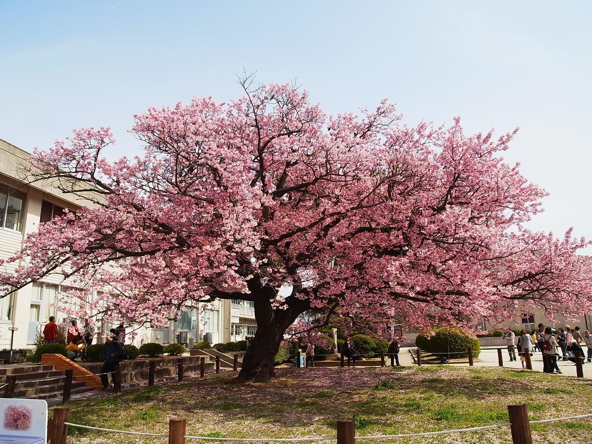 Free Photo Japanese Flowering Cherry Blooming Cherry Flower