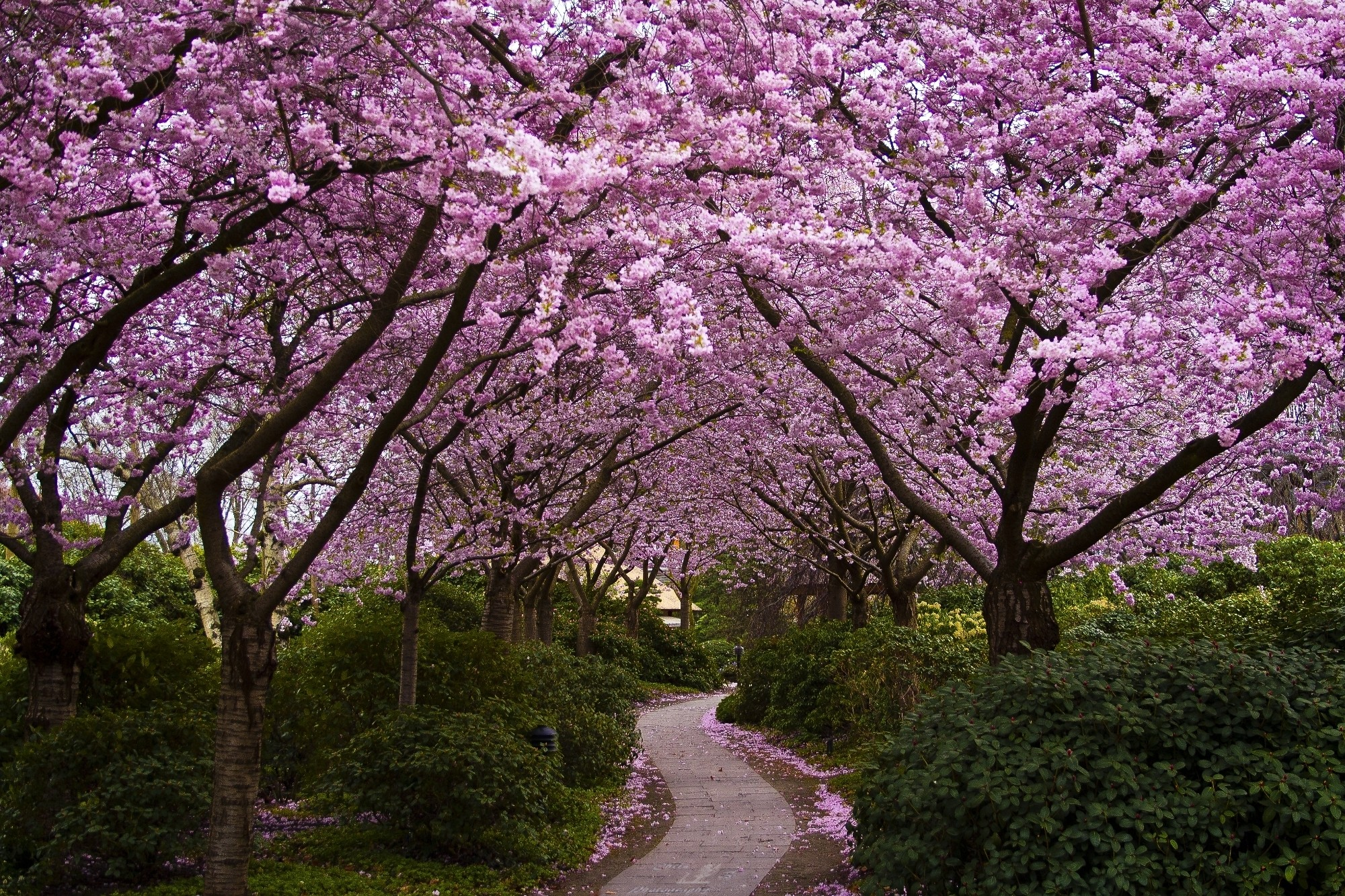 Free Photo Japanese Flowers Tree Nature Garden Free