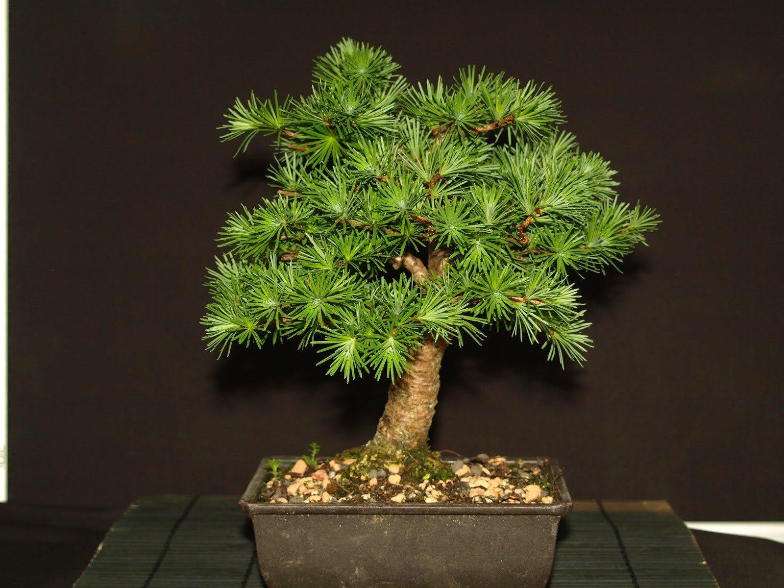Larch bonsai tree photo