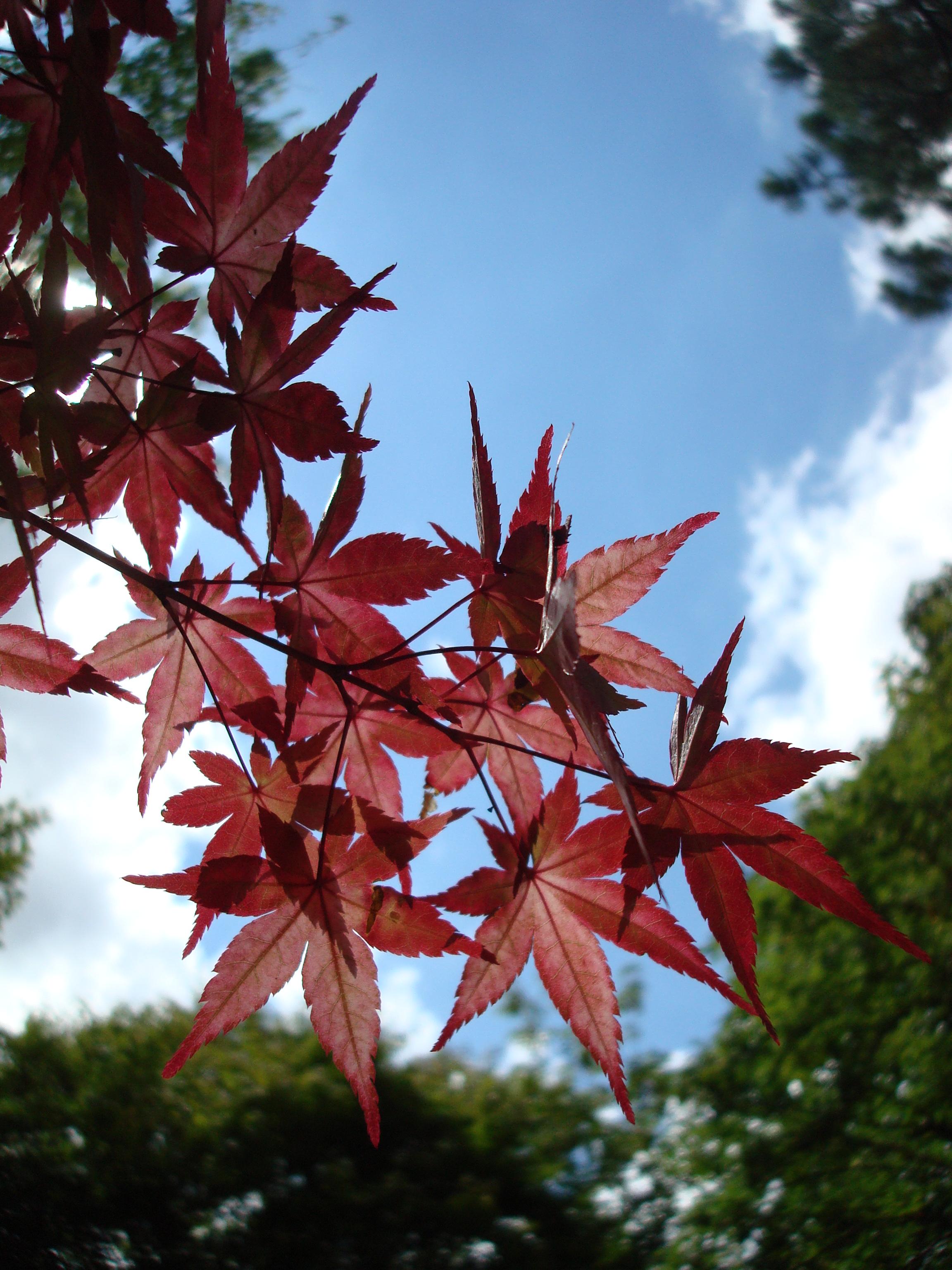 Japanese Maple, Japanese, Leaves, Maple, Plant, HQ Photo