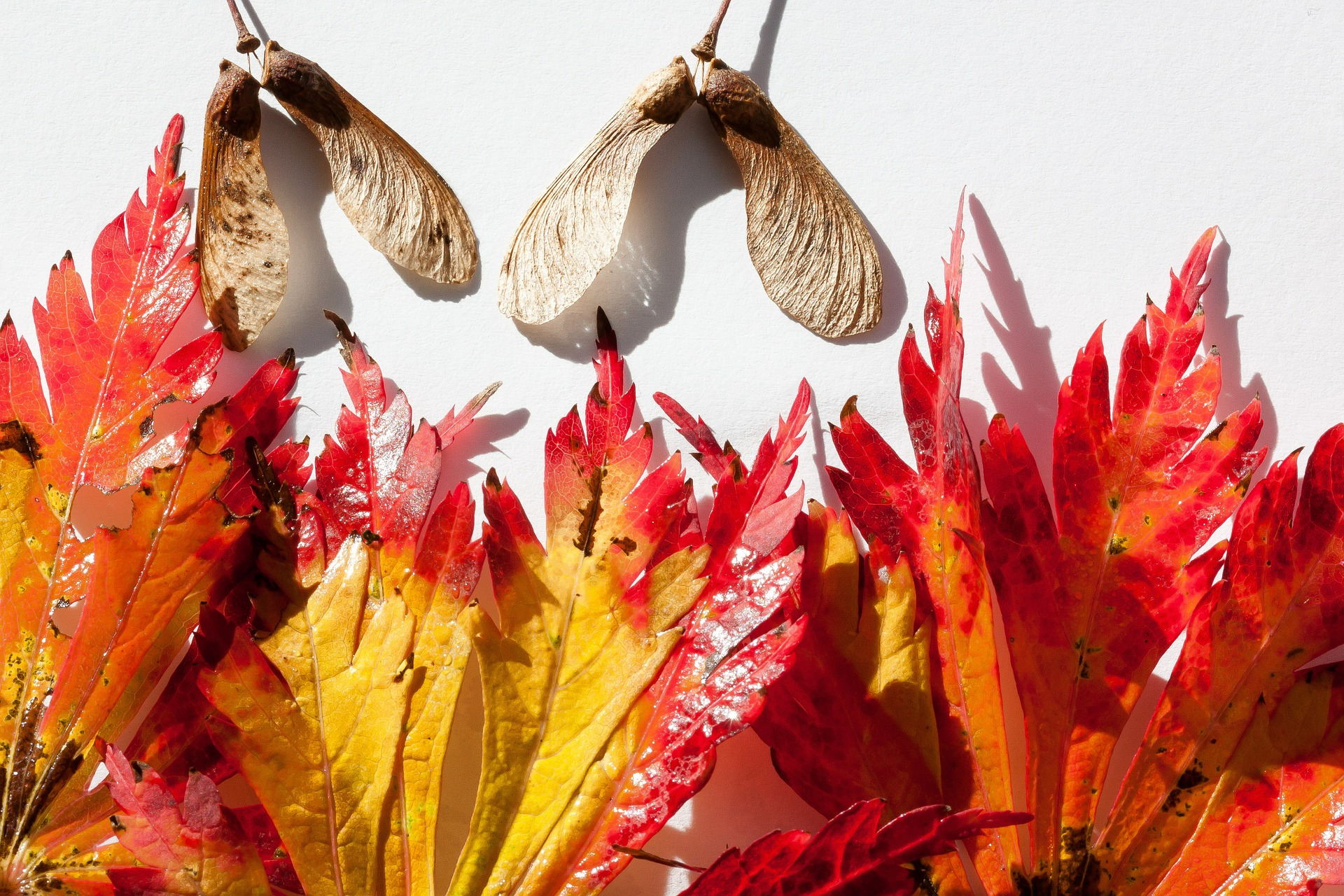 Japanese Maple, Japanese, Leaf, Leave, Maple, HQ Photo