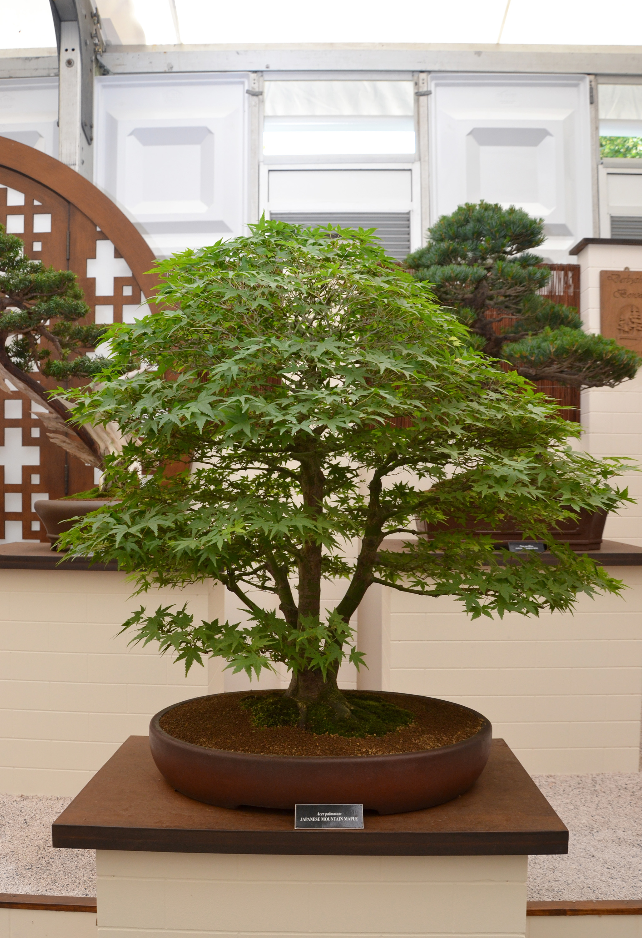 Japanese mountain maple bonsai photo