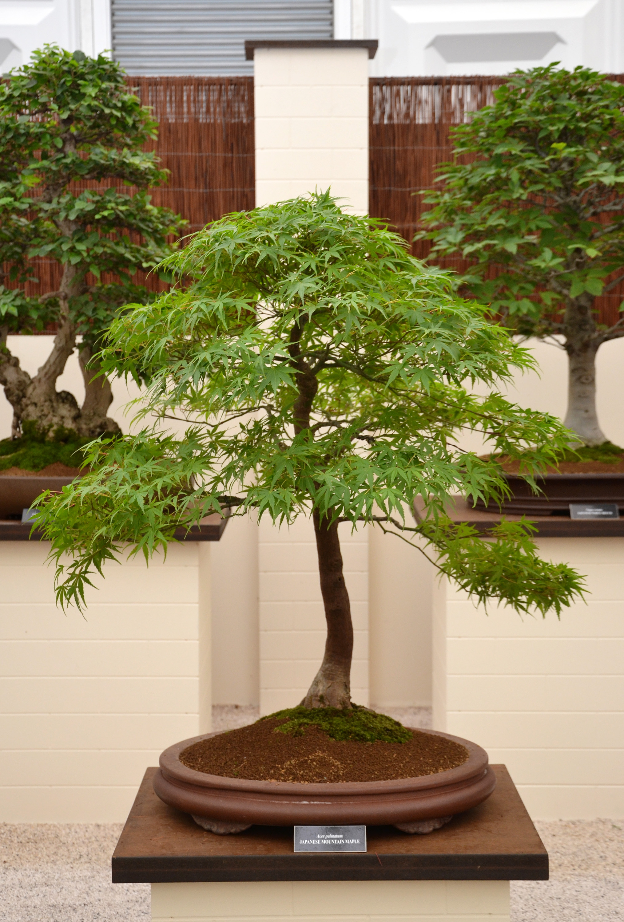 Japanese mountain maple bonsai, Acer, Mature, Miniature, Moss, HQ Photo