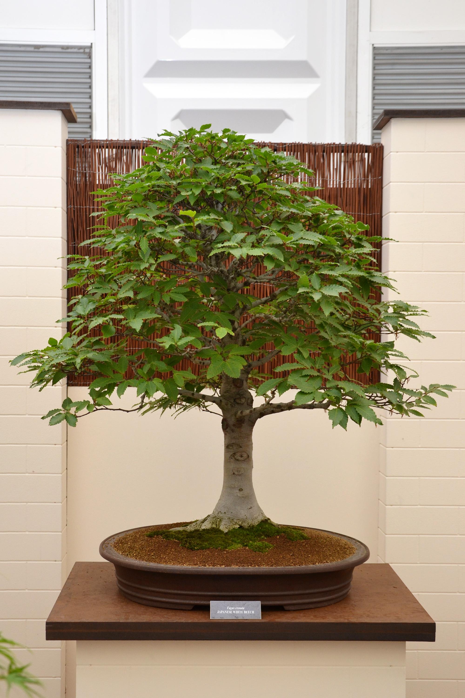 Japanese white beech bonsai photo