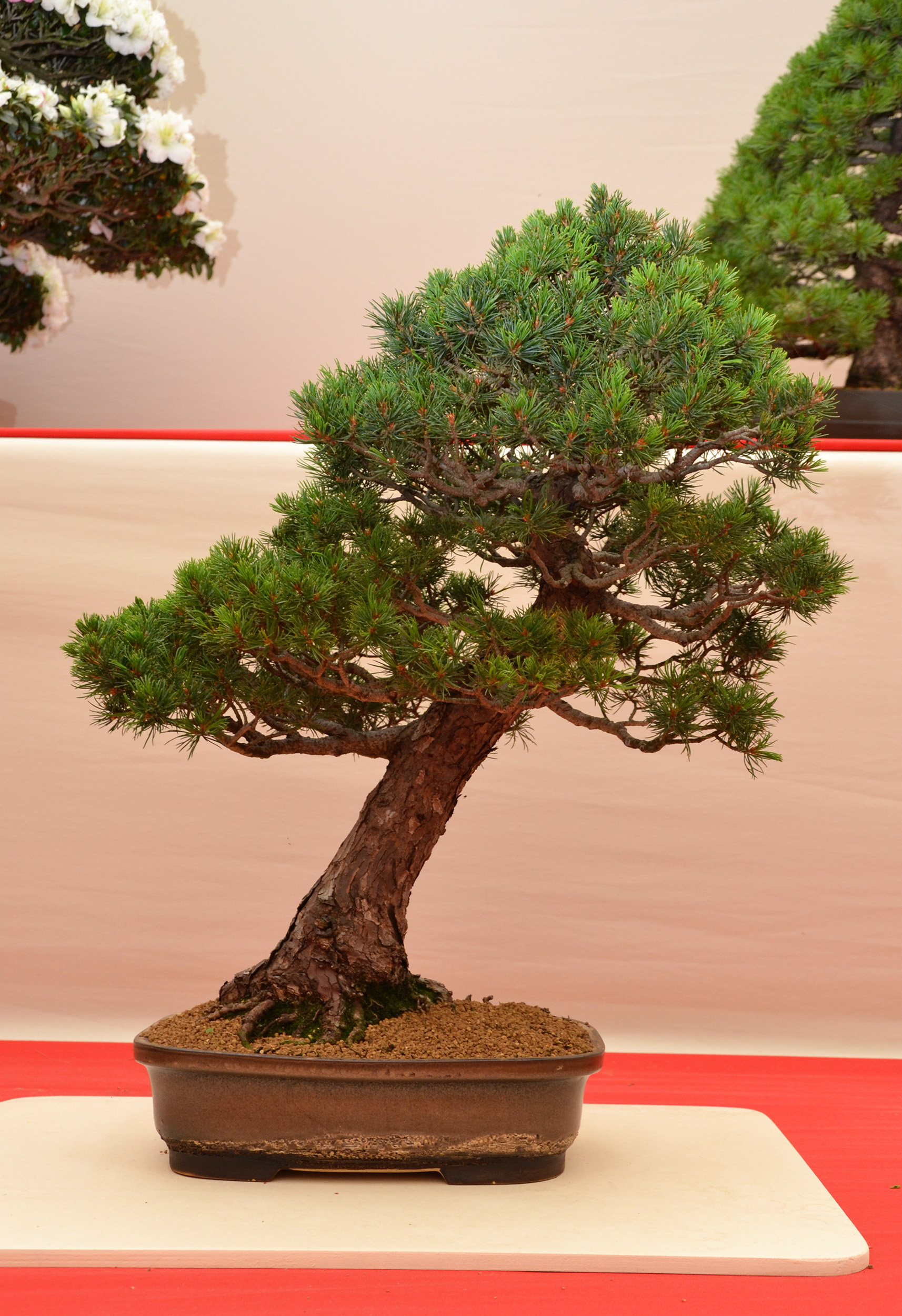 Japanese white pine 'kokonoe' photo