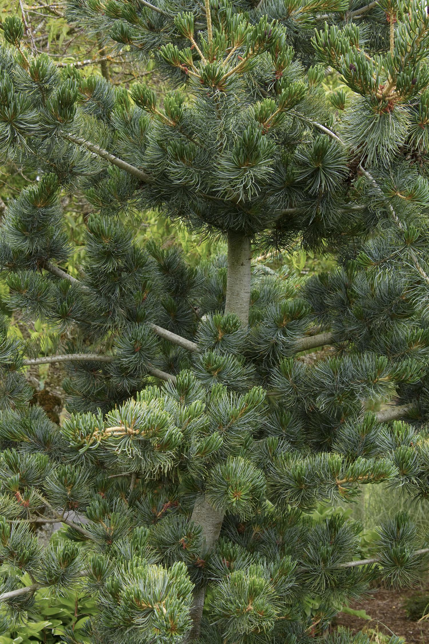 Japanese white pine photo