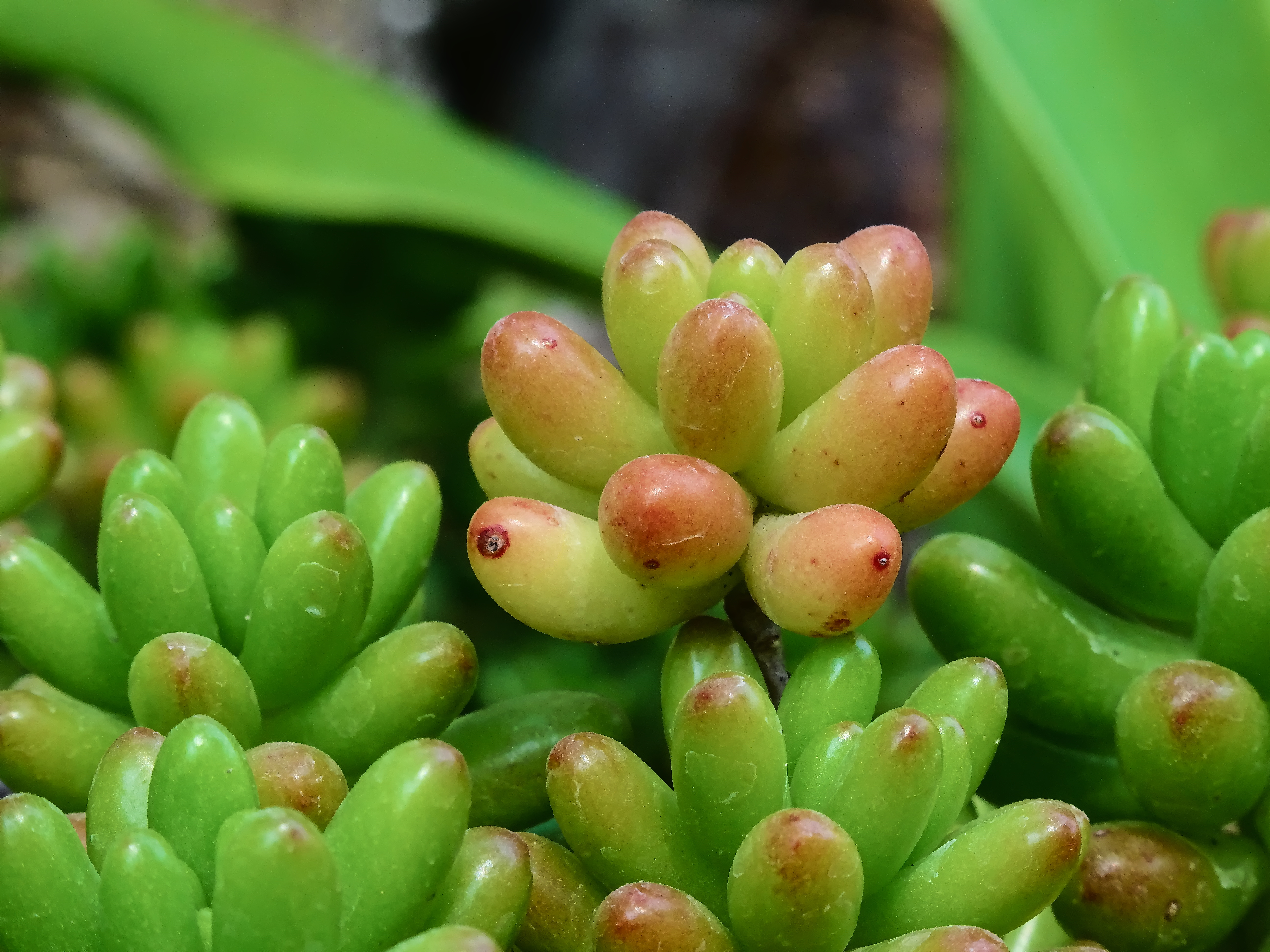 Jelly bean plant, Background, Jelly, Summer, Succulent, HQ Photo
