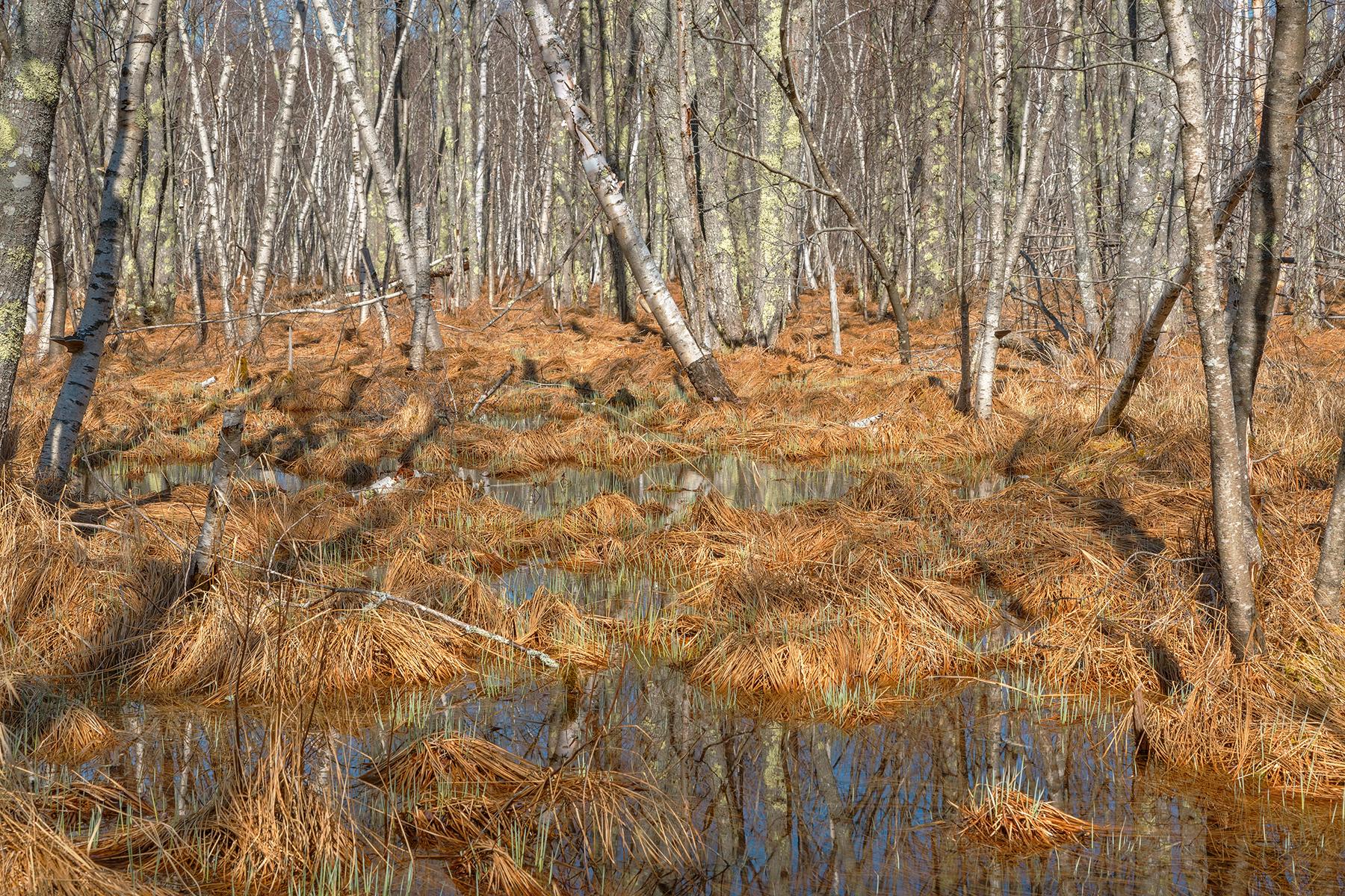 Jesup birch marsh - hdr photo