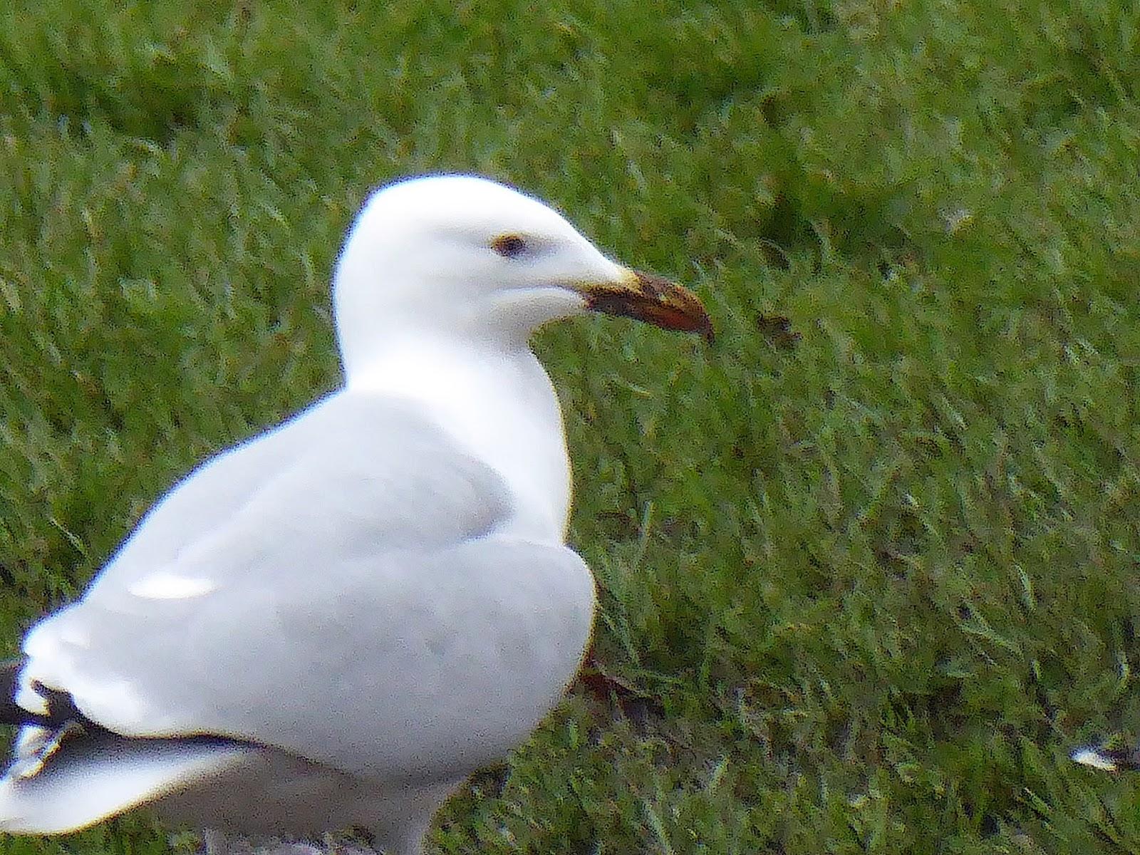 CAMBRIDGESHIRE BIRD CLUB GALLERY: Unidentified Gull