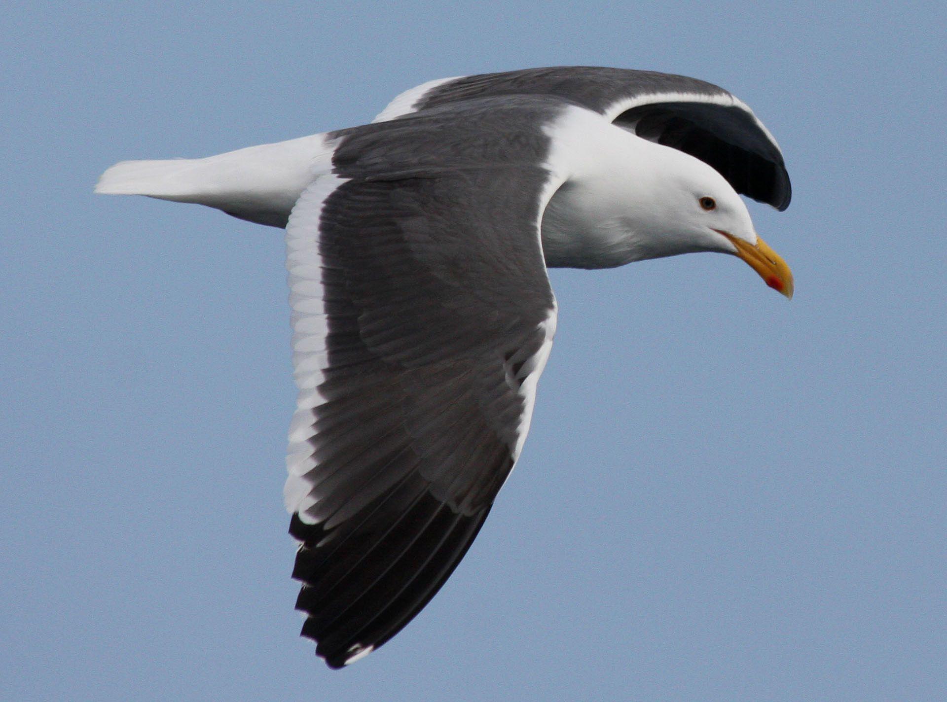 Western Gull, Larus occidentalis | bird skeletons | Pinterest | Gull ...