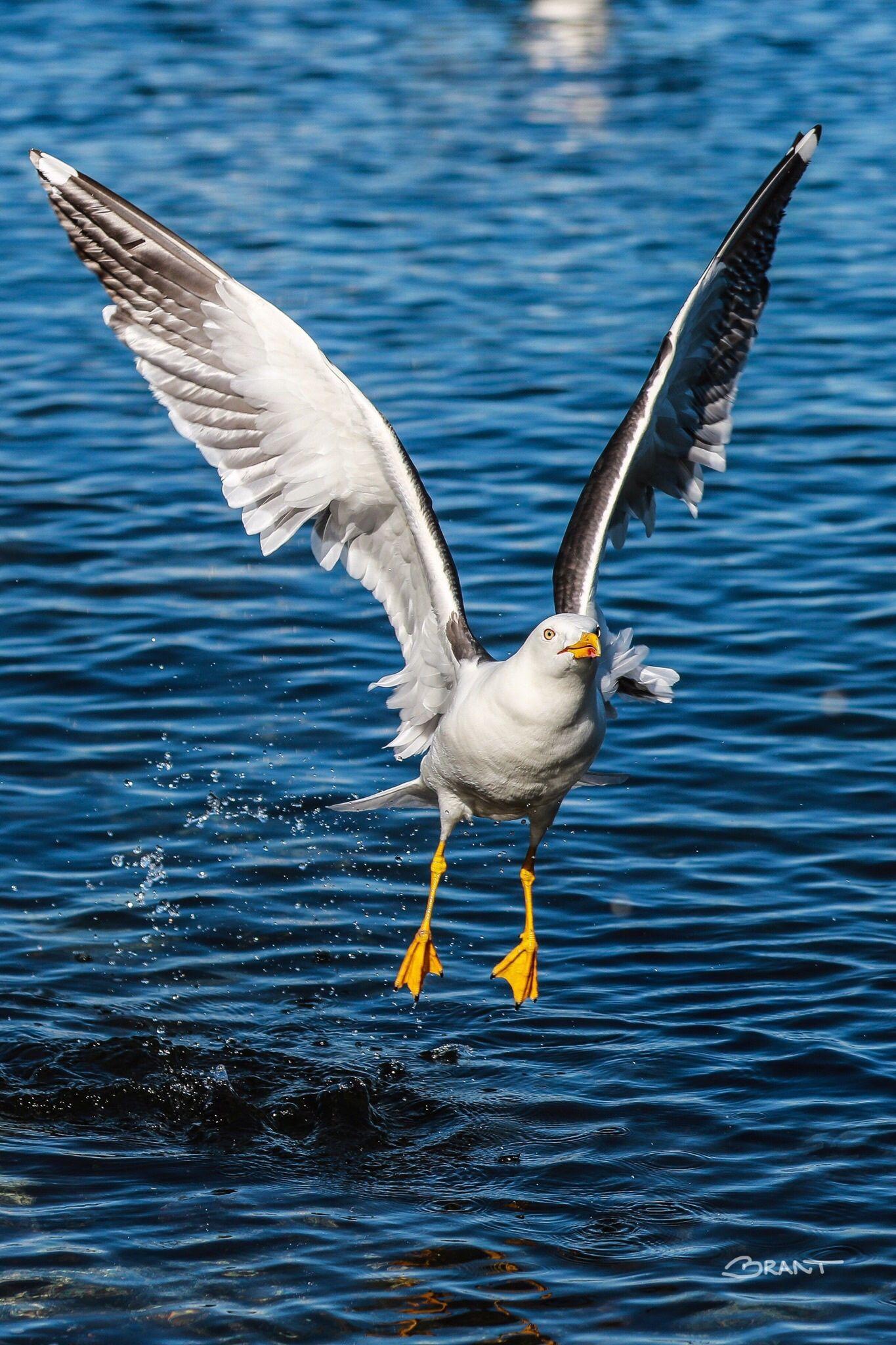 Seagull by Brant Fageraas | Ŧєคt♄єгє๔ Ŧгίєภ๔ร | Pinterest | Bird ...