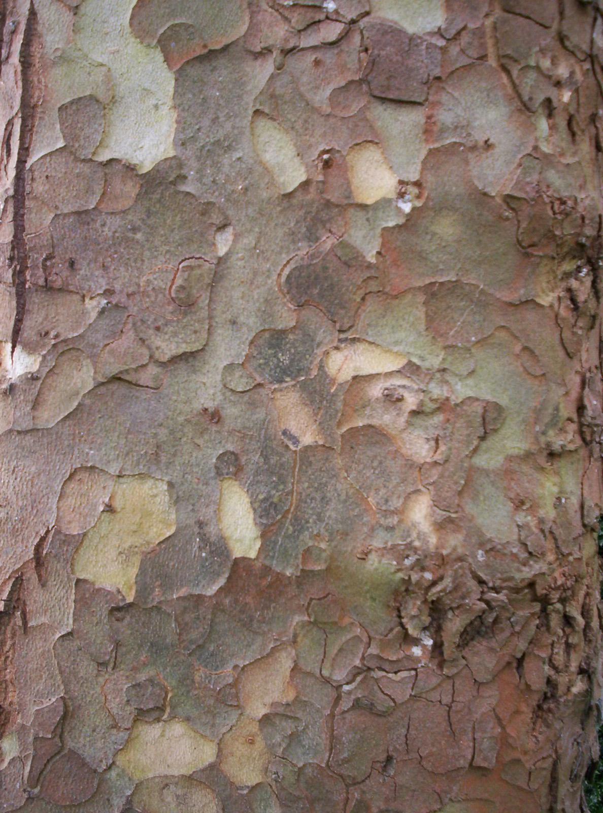 Jig Saw of Epidermal Tissue, Bark, Bspo06, Dunedin, Jigsaw, HQ Photo