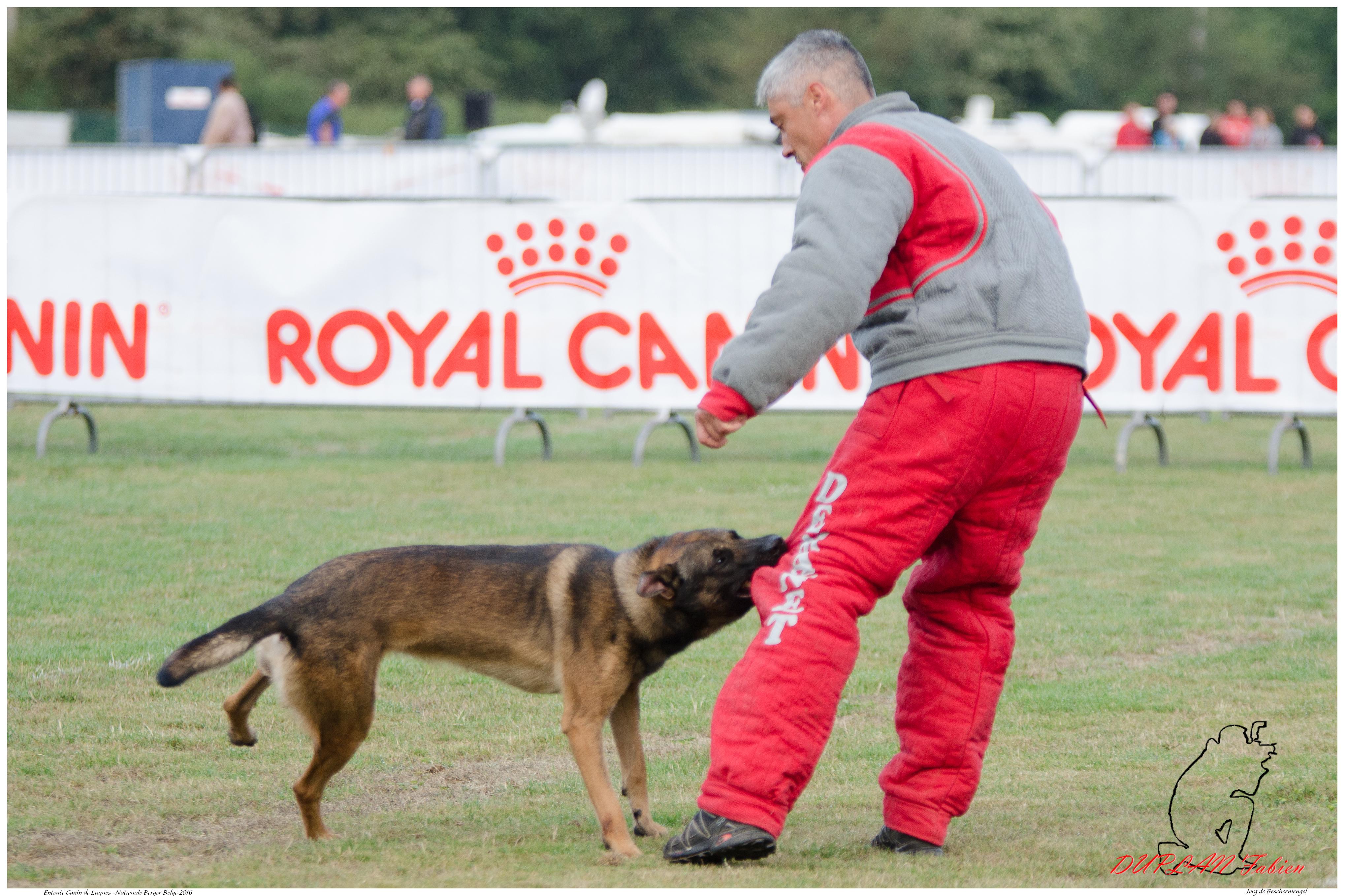 Jorg de Beschermengel Chambelin C ------4631, Animal, Dog, Outdoor, Pet, HQ Photo