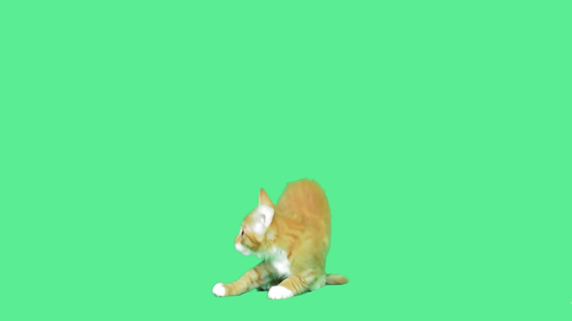 playful kitten jumping on a green screen Stock Video Footage ...