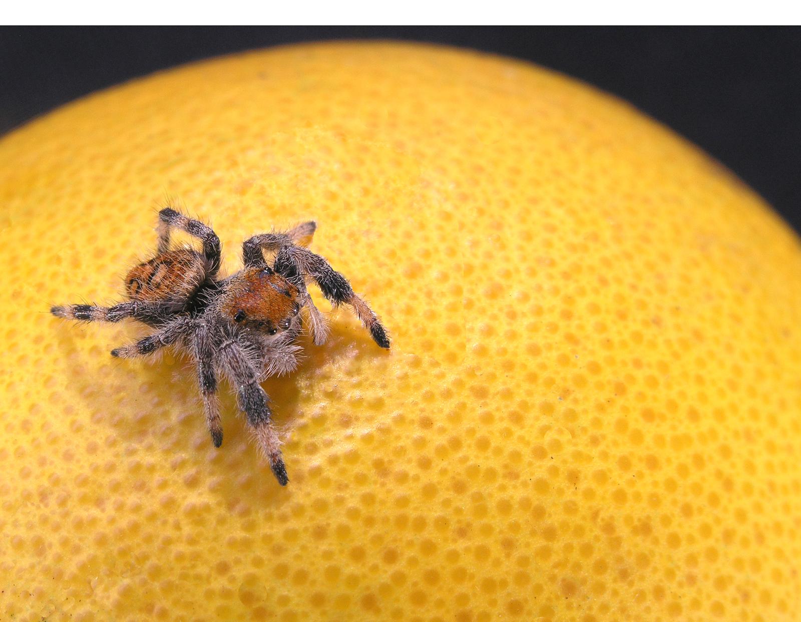 Jumping spider on an orange photo