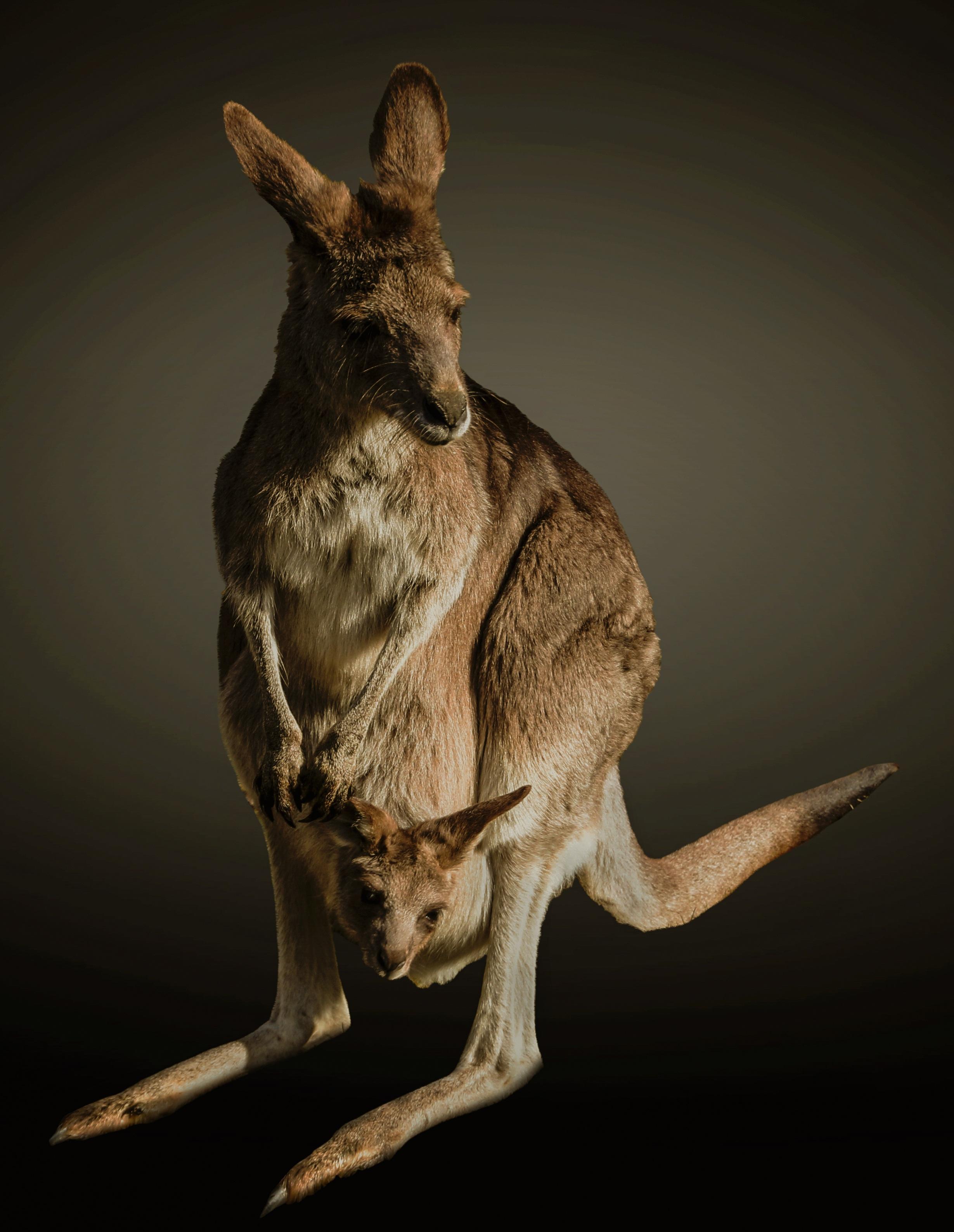 Kangaroo in the zoo photo