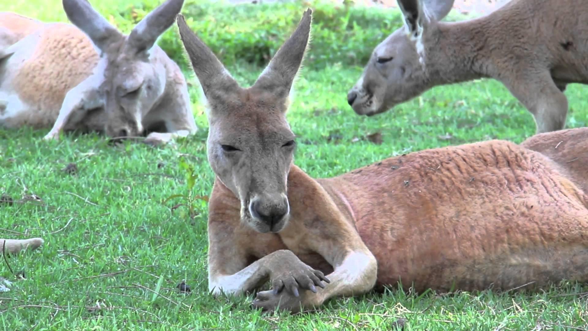 Kangaroo laying down photo