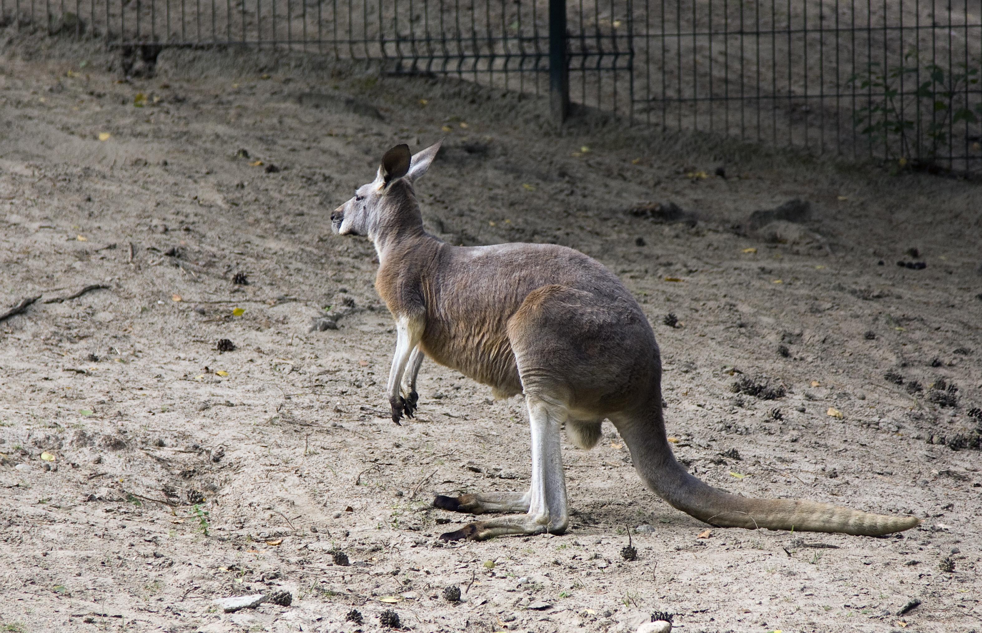 Kangaroo photo