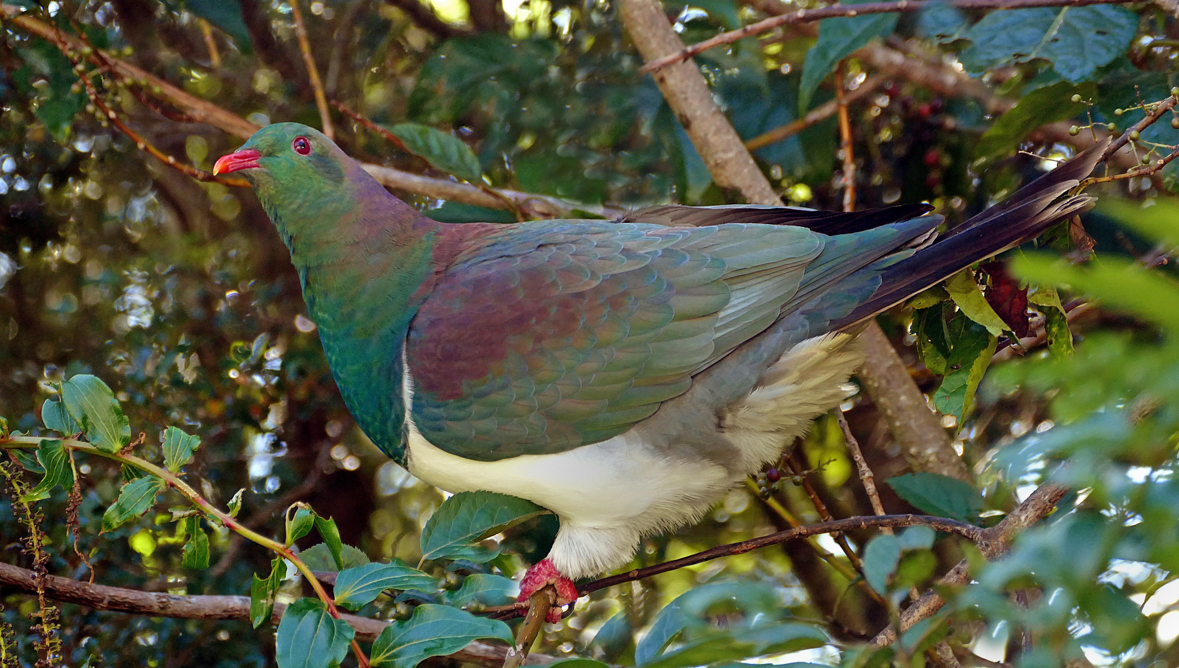 Kereru. nz wood pigeon. photo