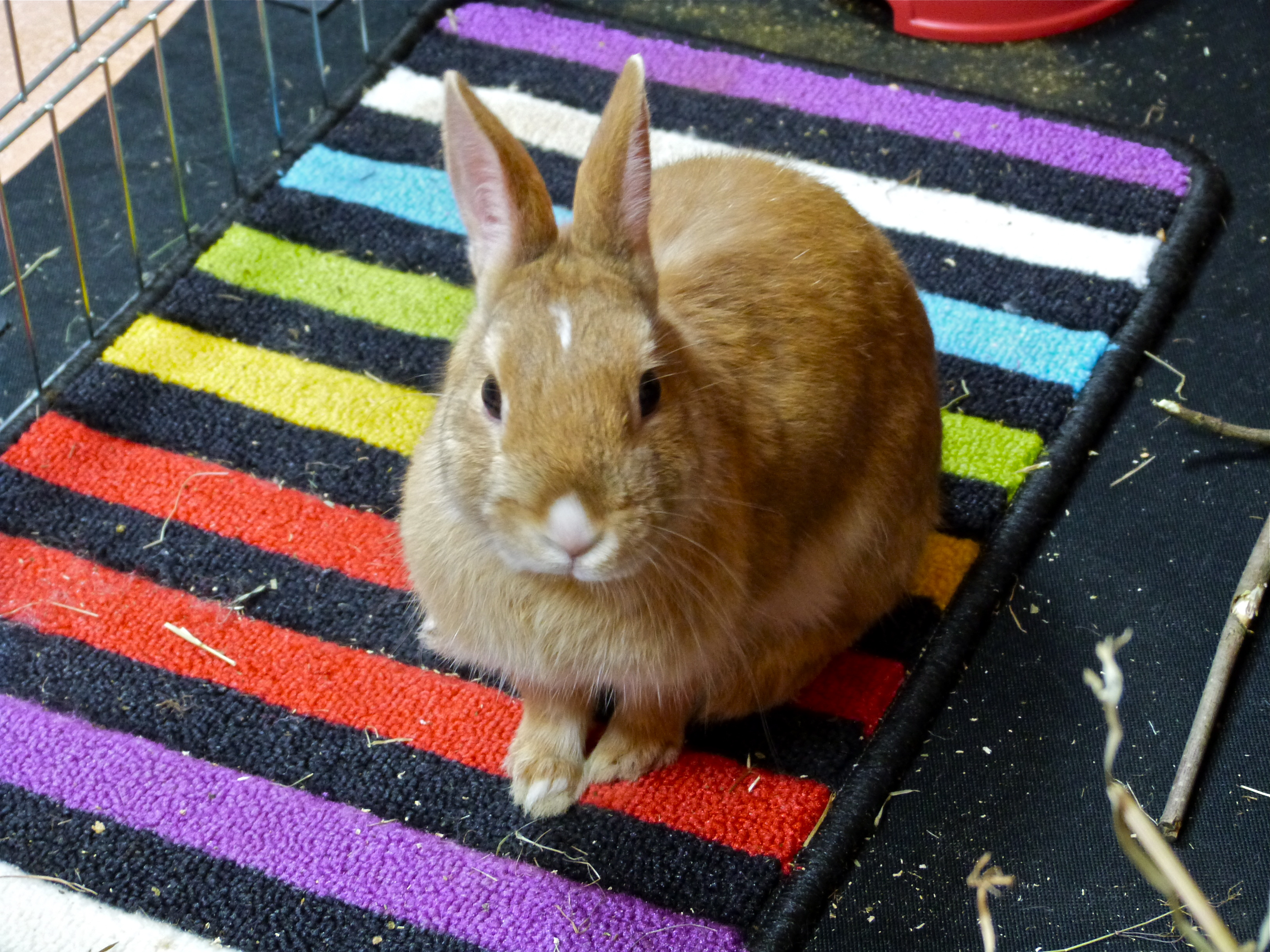 Kirby in her pen, Animal, Bunny, Cute, Indoor, HQ Photo