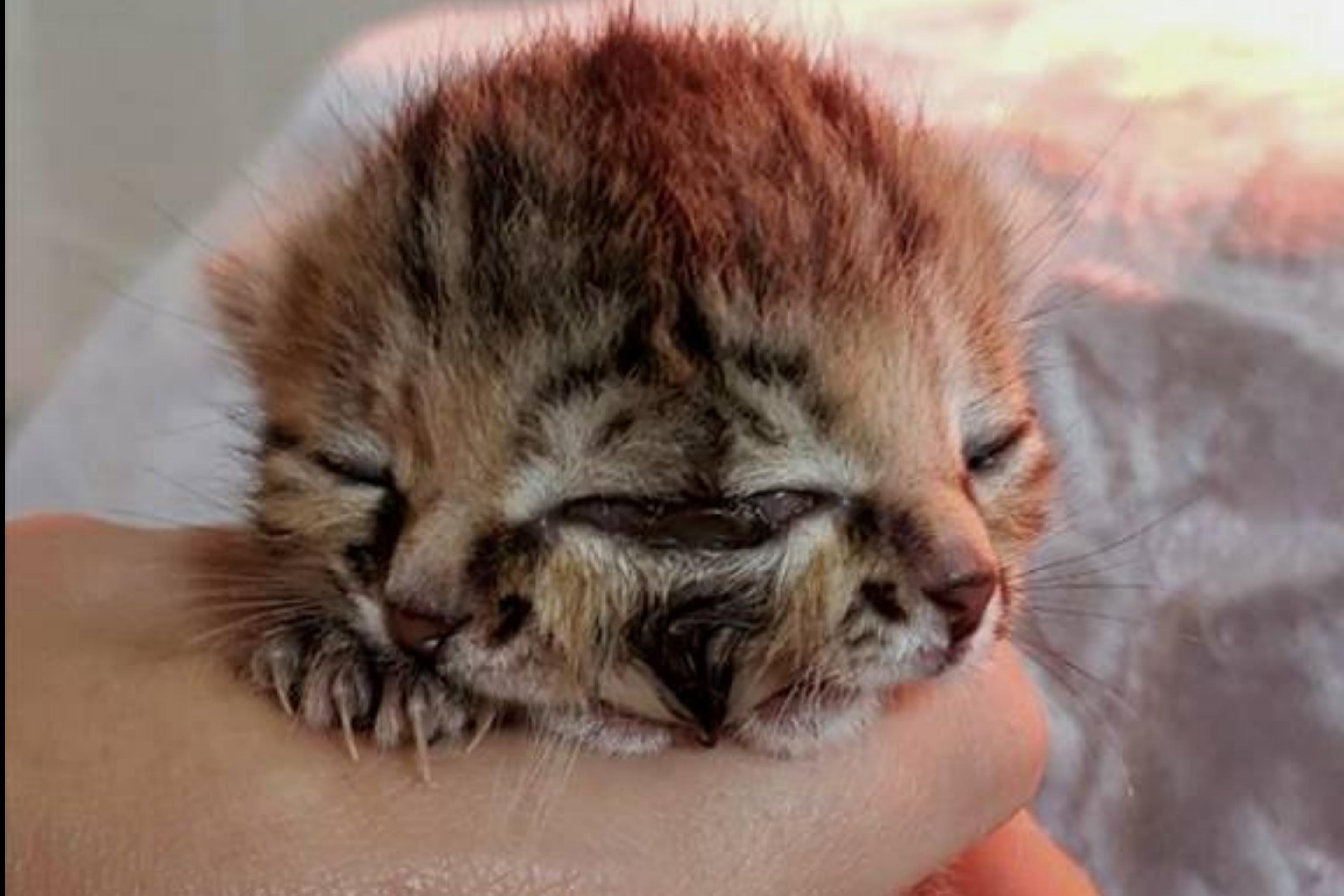 Two-faced kitten that charmed netizens dies at 16 days old, World ...