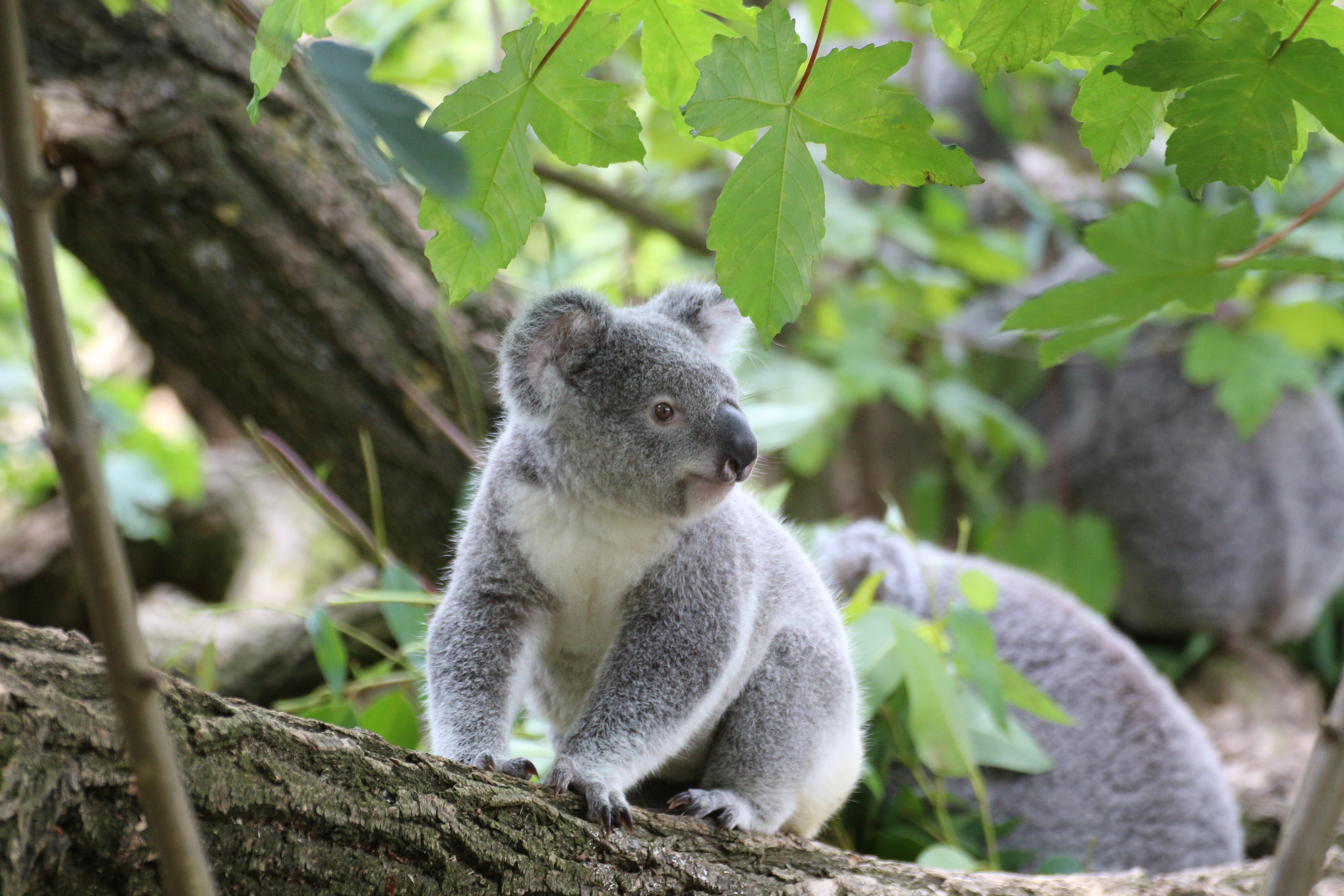 Koala bear on grey wood trunk on daytime photo