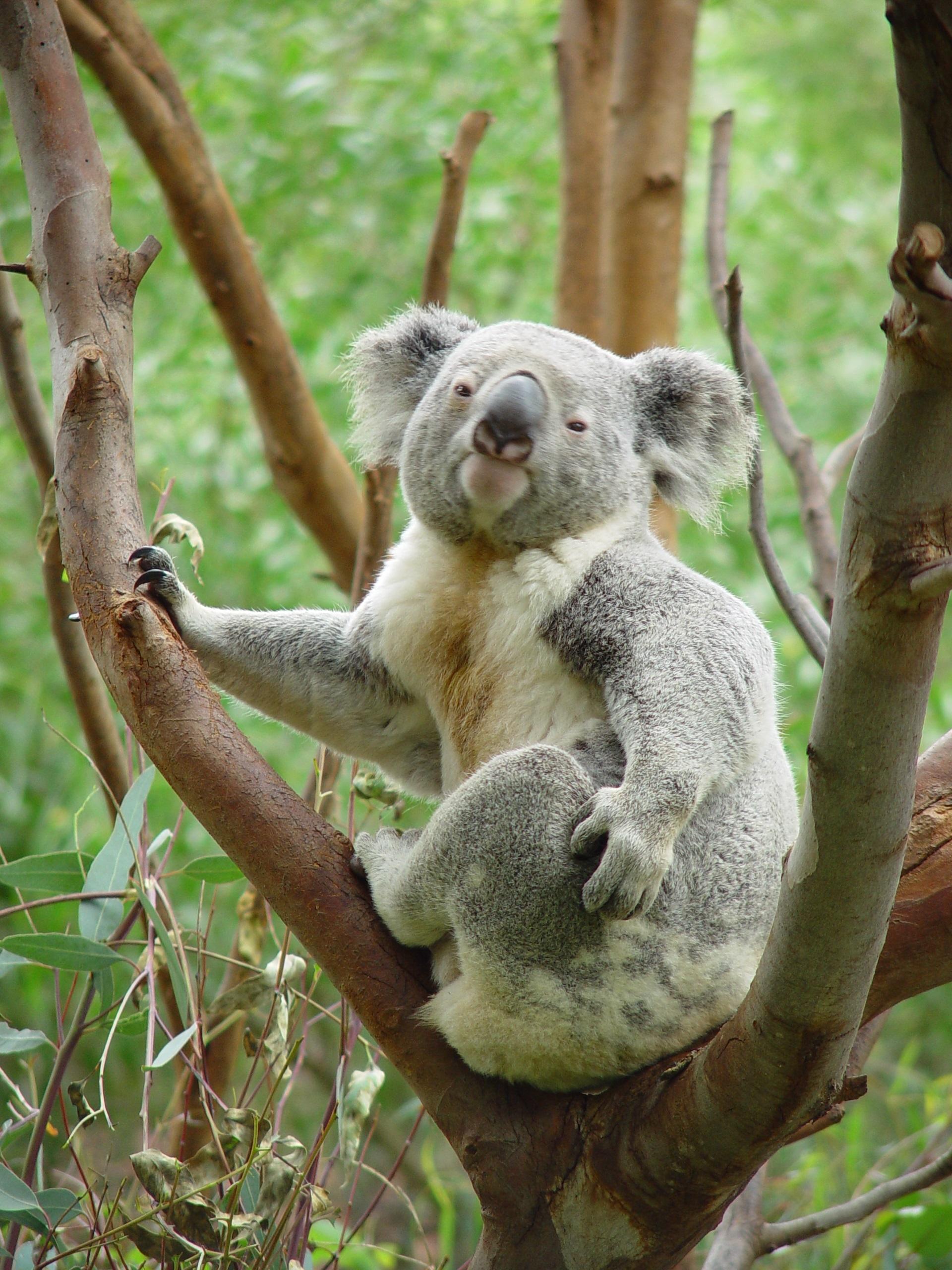 Koala on the tree photo